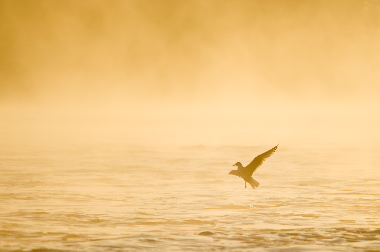 One of my favorite flight shots, this Ring-Billed Gull looked as though it was dancing on the water as the early morning sun lit up the fog at Conowingo Dam, MD  .