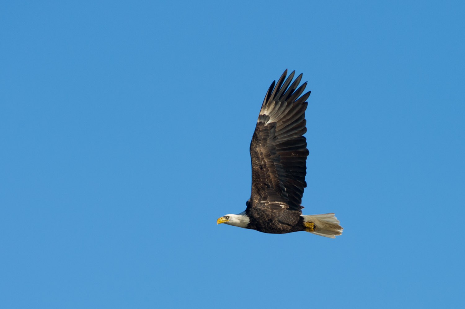 An adult Bald Eagle looks incredibly powerful as it flies by at Conowingo Dam, MD  .
