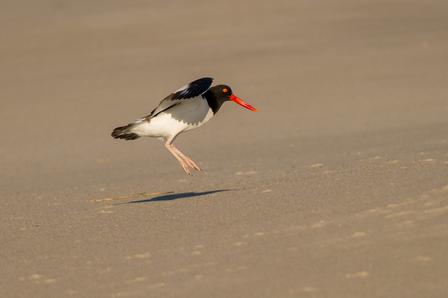 The sometimes goofy looking American Oystercatcher gently touches down on the beach at Cape May State Park, NJ  .