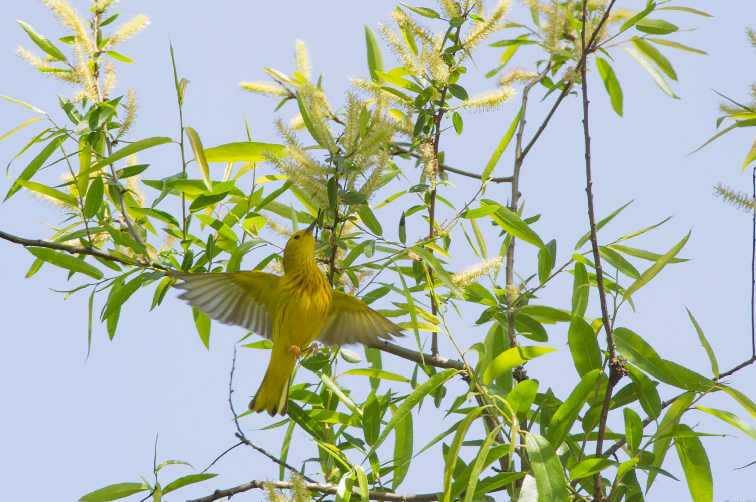 I think the Yellow Warbler is so beautiful and this one really shows off its colors as it hovers under the leaves trying to get some insects at Amico Island Park in Delran, NJ  .