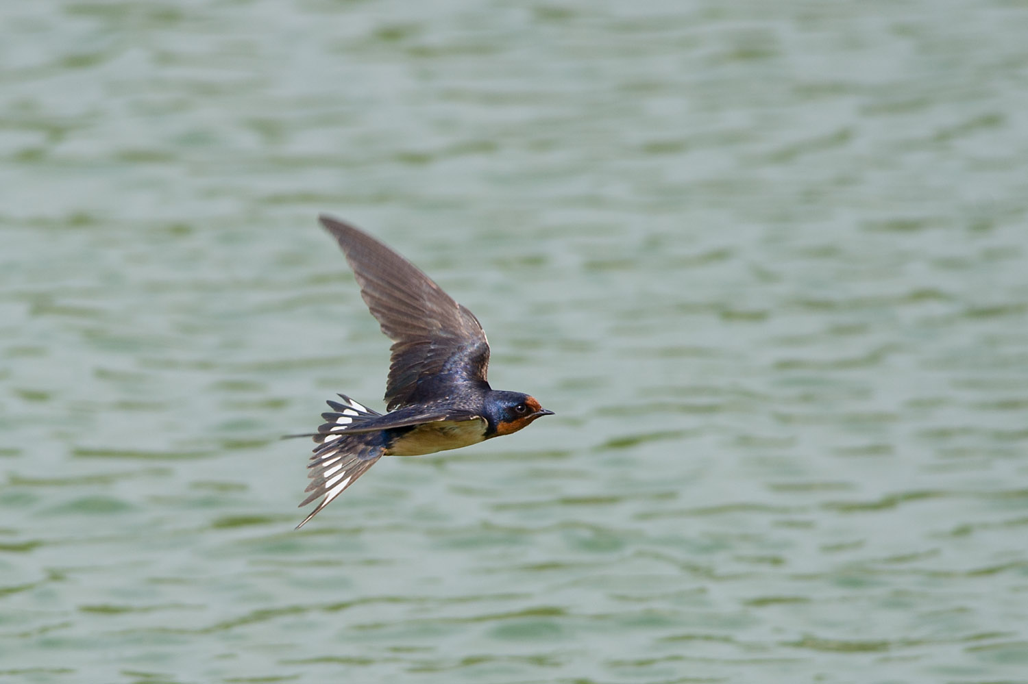 One of the most acrobatic fliers I've ever seen, this Barn Swallow is hunting for flying insects over the water at John Heinz National Wildlife Refuge in Philadelphia, PA  .