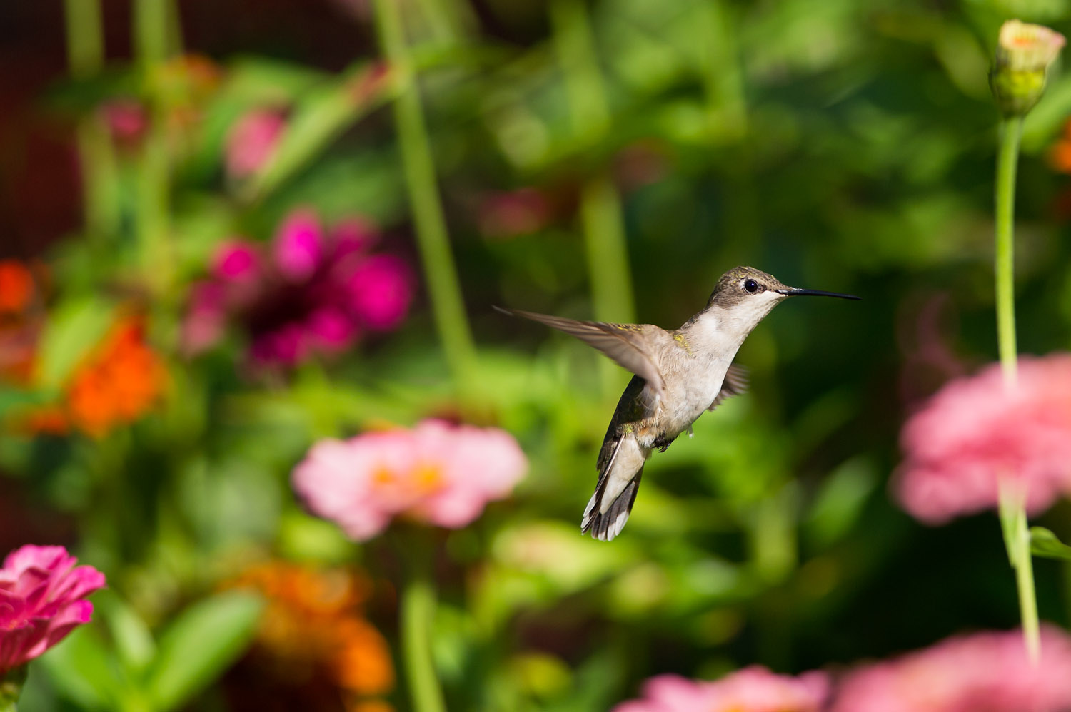 A female Ruby-Throated Hummingbird hovering in a garden of Zineas  .