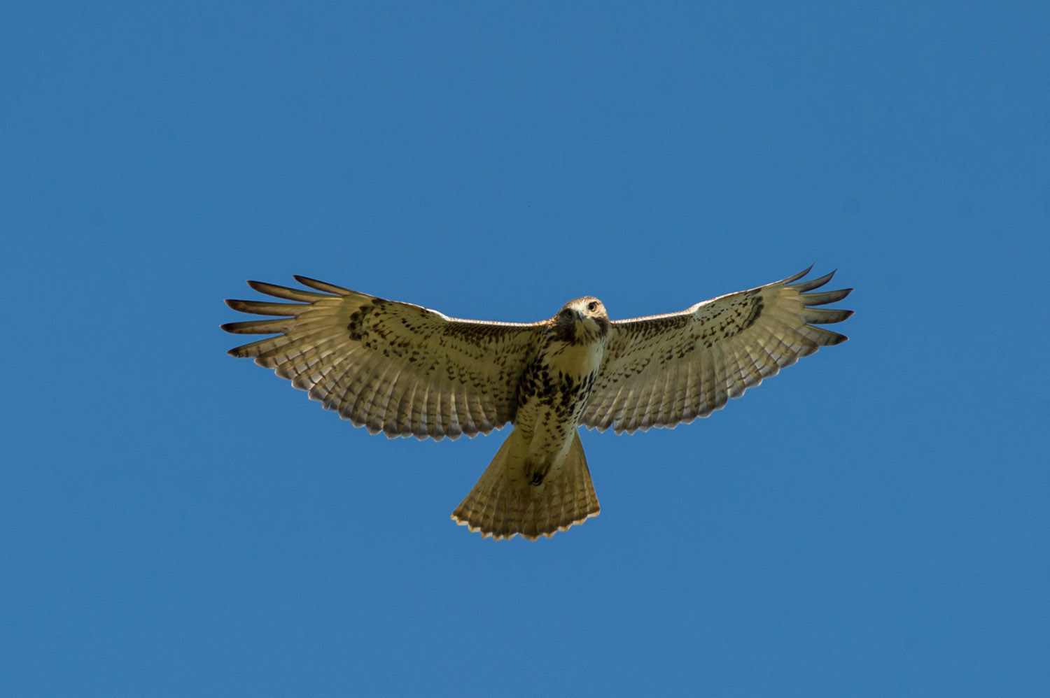 A Red-Tailed Hawk looking down at me as it flies overhead  .