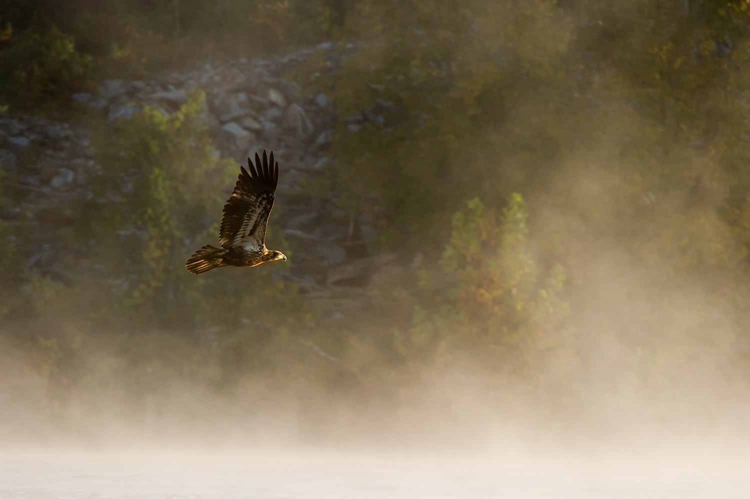 An immature Bald Eagle flies into the early morning sun as the fog hangs over the river at Conowingo Dam, MD  .