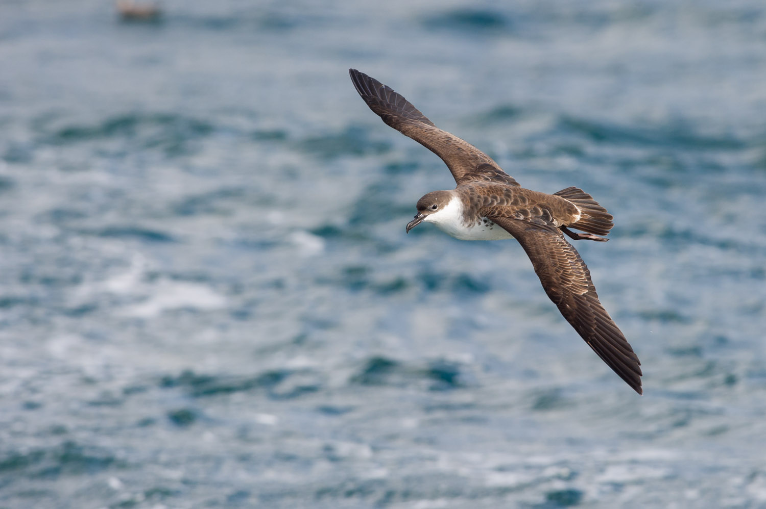 One of the most incredible flying birds I've ever witnessed, this Greater Shearwater can cruise over the waves out at sea at fast speeds all while making it look completely effortless. Taken approximately 10 miles off the coast of Lewes, DE  .