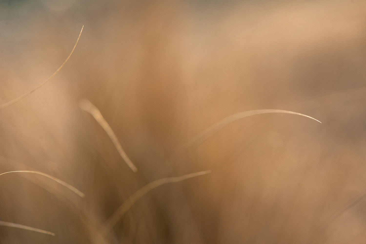 My attempt to come up with an interesting photo of some long brown grass with my macro lens  .