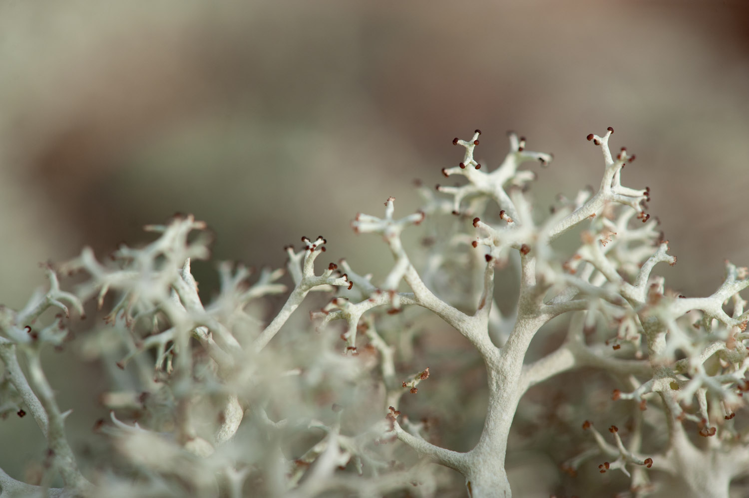 A closeup of Reindeer Moss looks almost alien  .