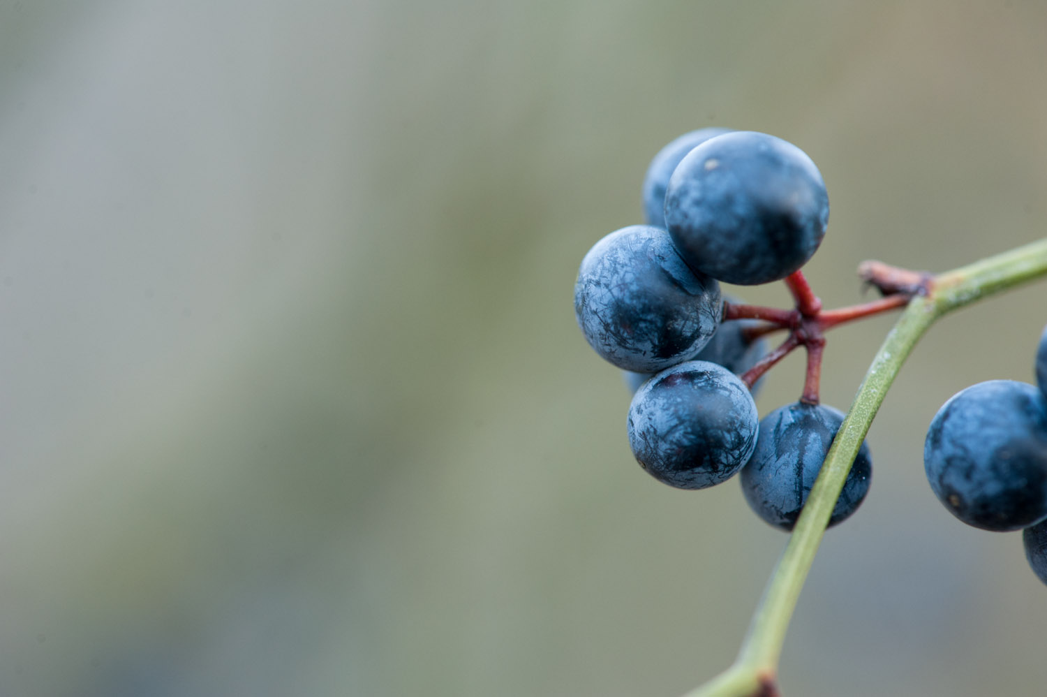A thorny vine had these berries growing all over it  .