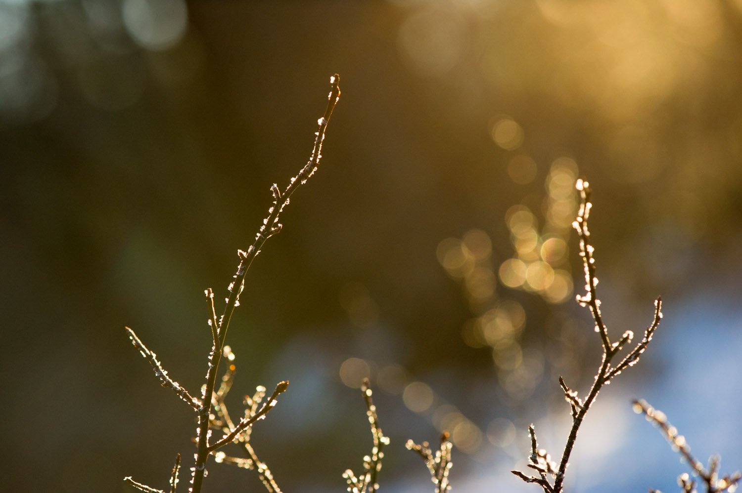 The early morning sun was making the frost on these branches just glow. Taken near Atsion Lake in the NJ Pine Barrens.