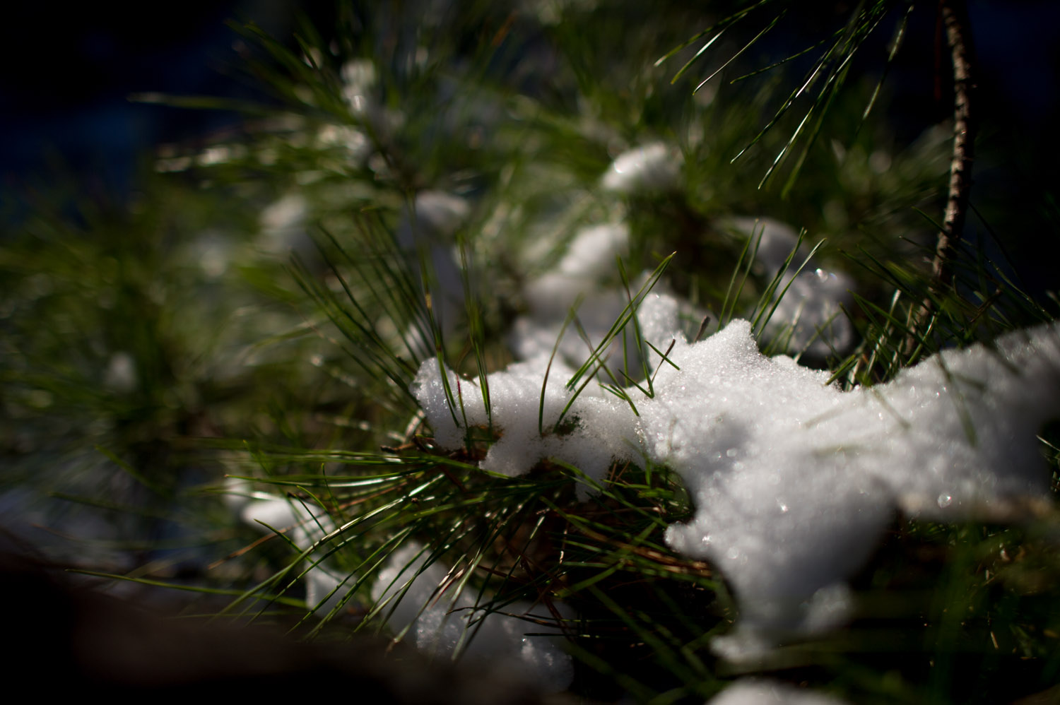 The freshly fallen snow had not been knocked off the low branches yet.