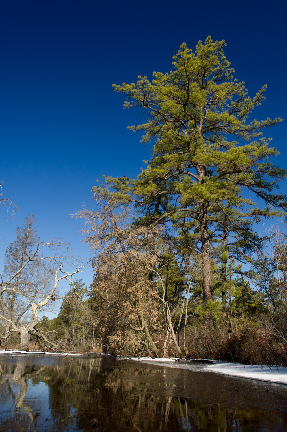 The bright green of this pine really stood out on the edge of the Mullica River. Taken at Wharton State Forest in the NJ Pine Barrens.