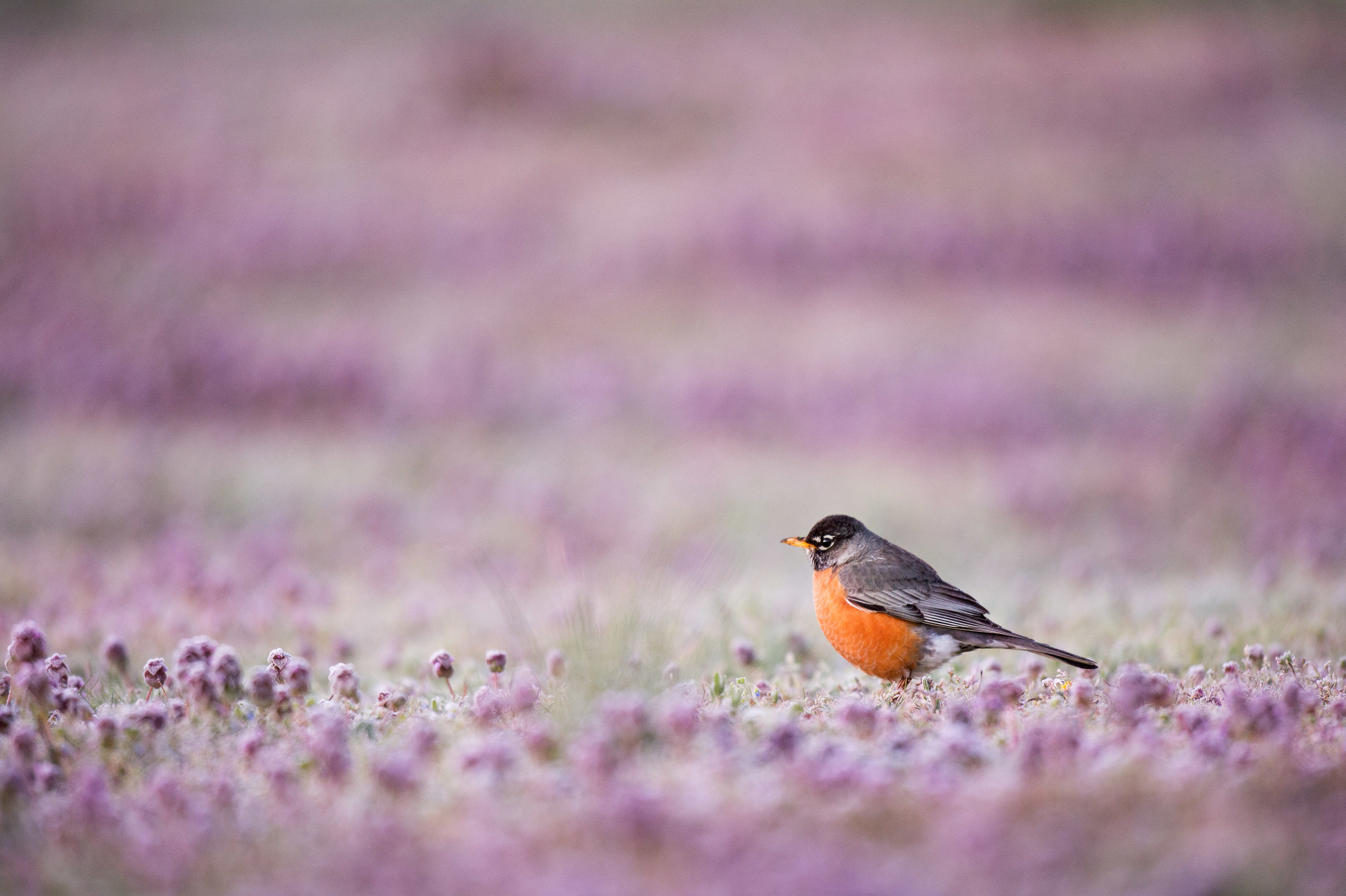 An American Robin searches for food in a field covered in small purple flowers.