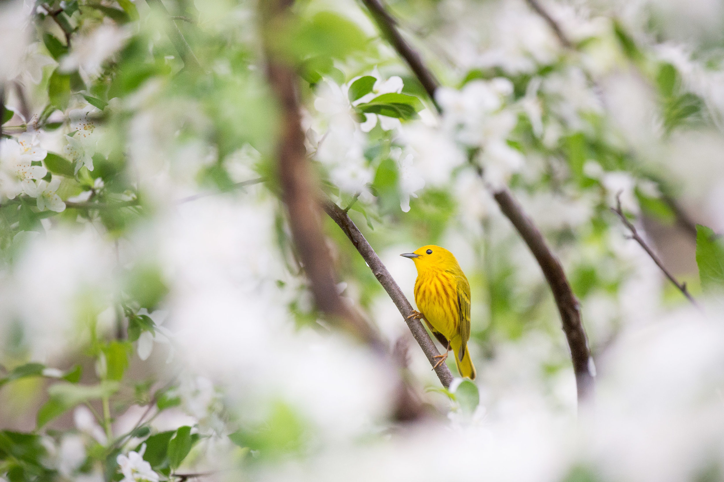 A vibrant Yellow Warbler stands out in a tree with fresh green leaves and big white flowering blossoms.