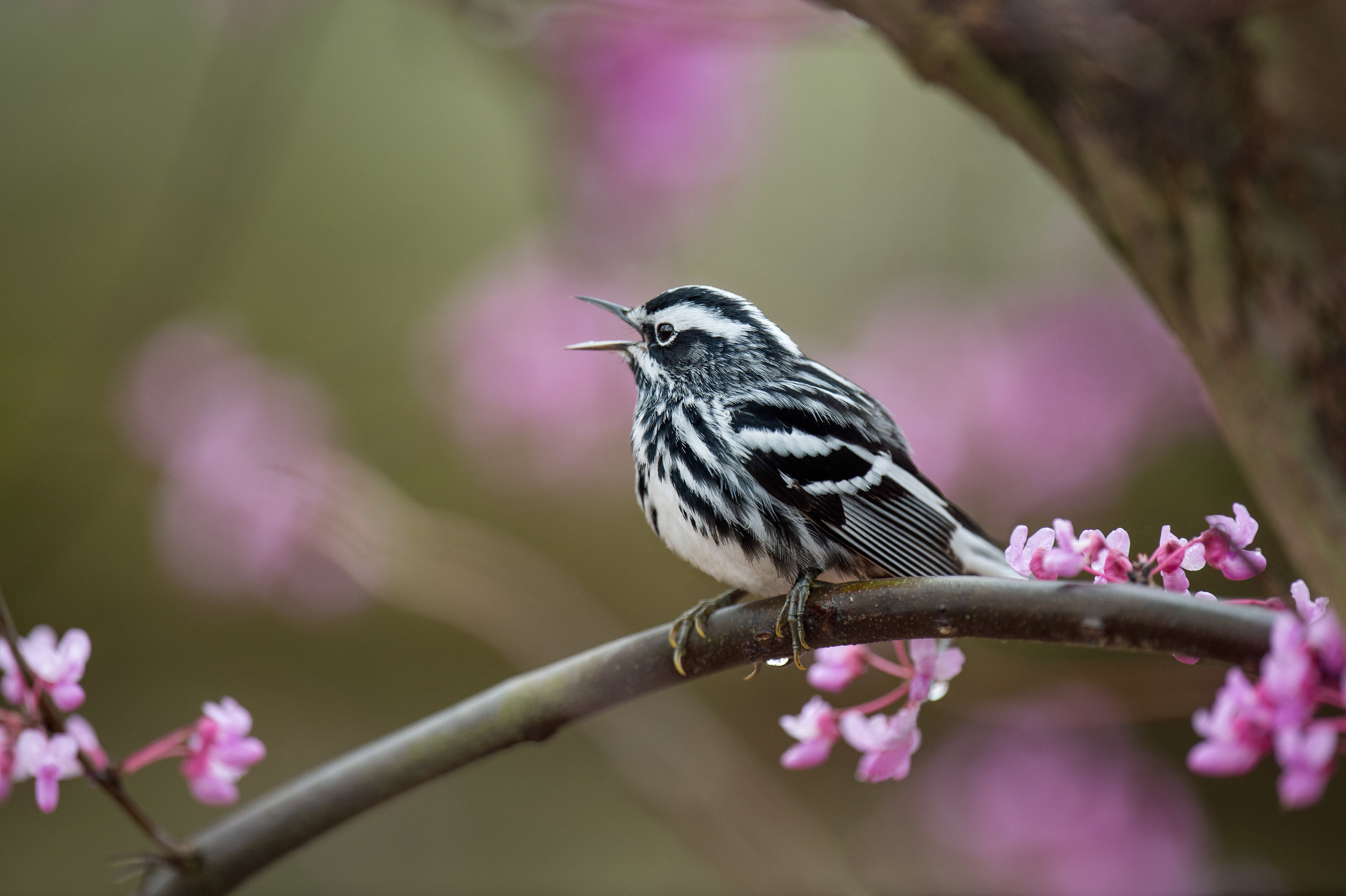 A Black and White Warlber sings its heart out perched on the branch of a Redbud tree full of purple blossoms.