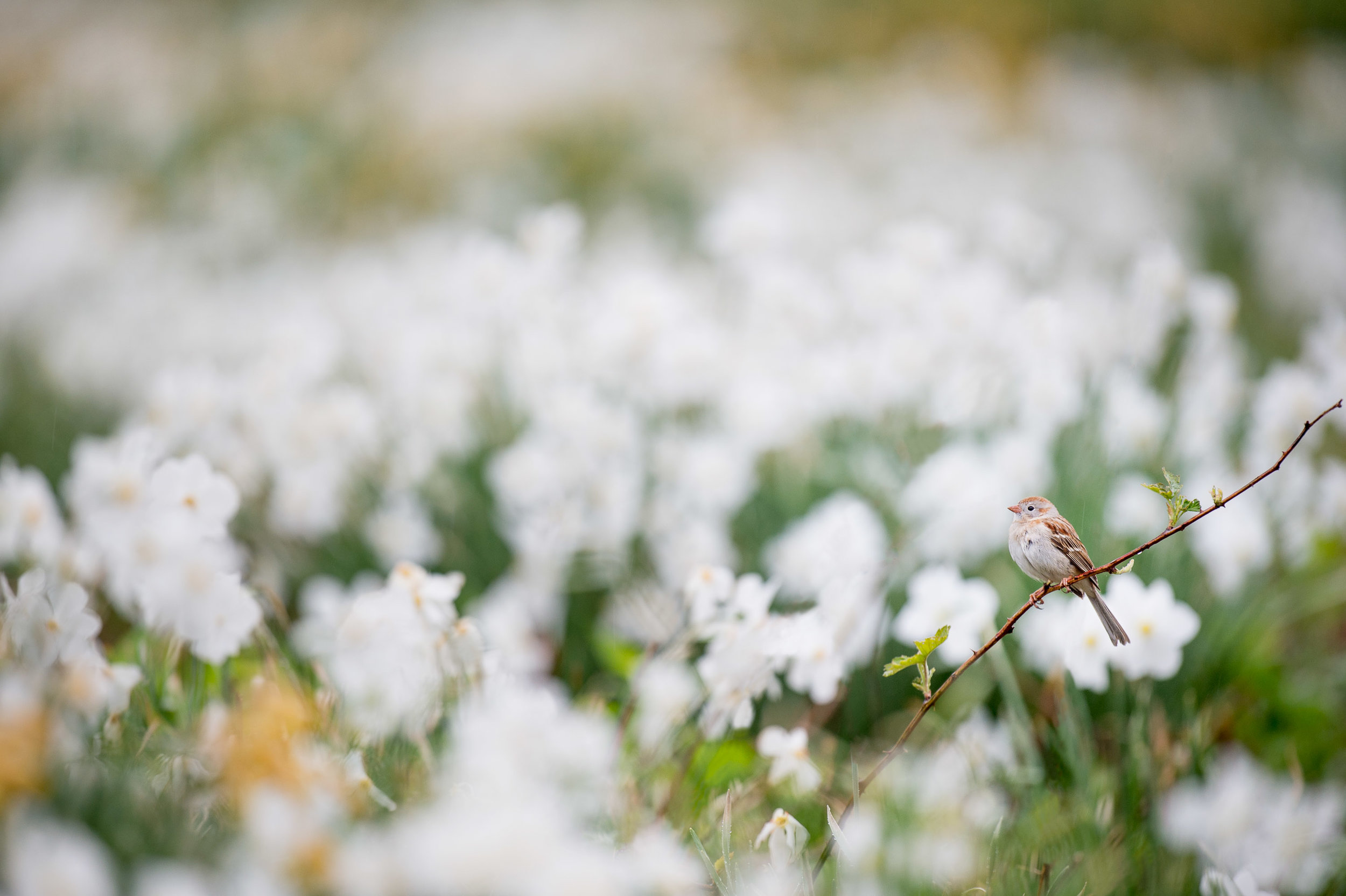 A tiny Field Sparrow decides to take a moment land in a field of Dafodils.