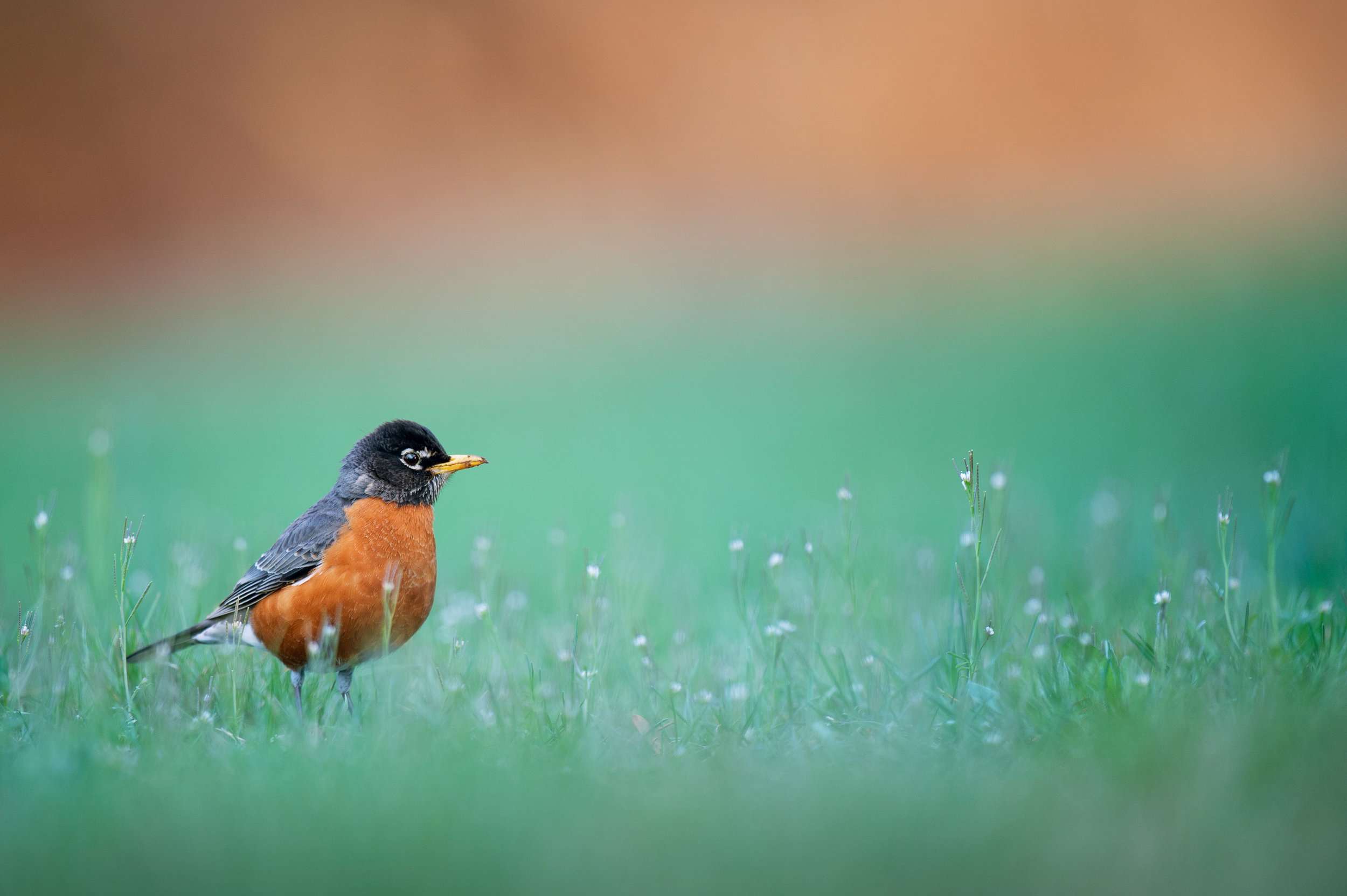 Another American Robin stands in the fresh green grass surrounded by tiny white flowers.