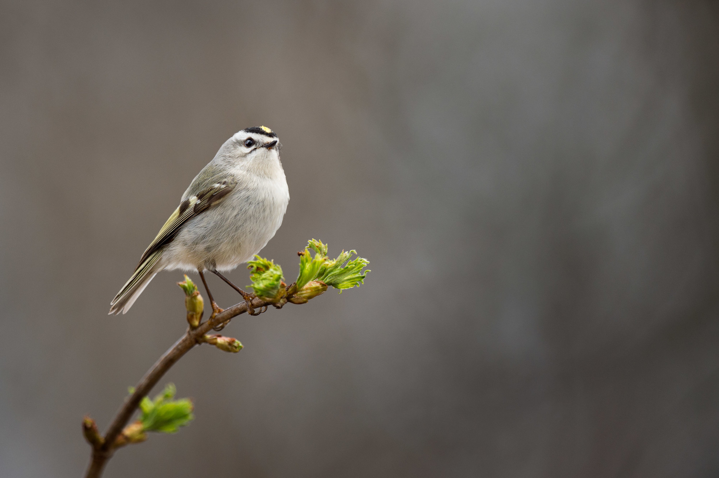 A Golden-crowned Kinglet perches atop a branch with fresh green leaves just starting to appear.