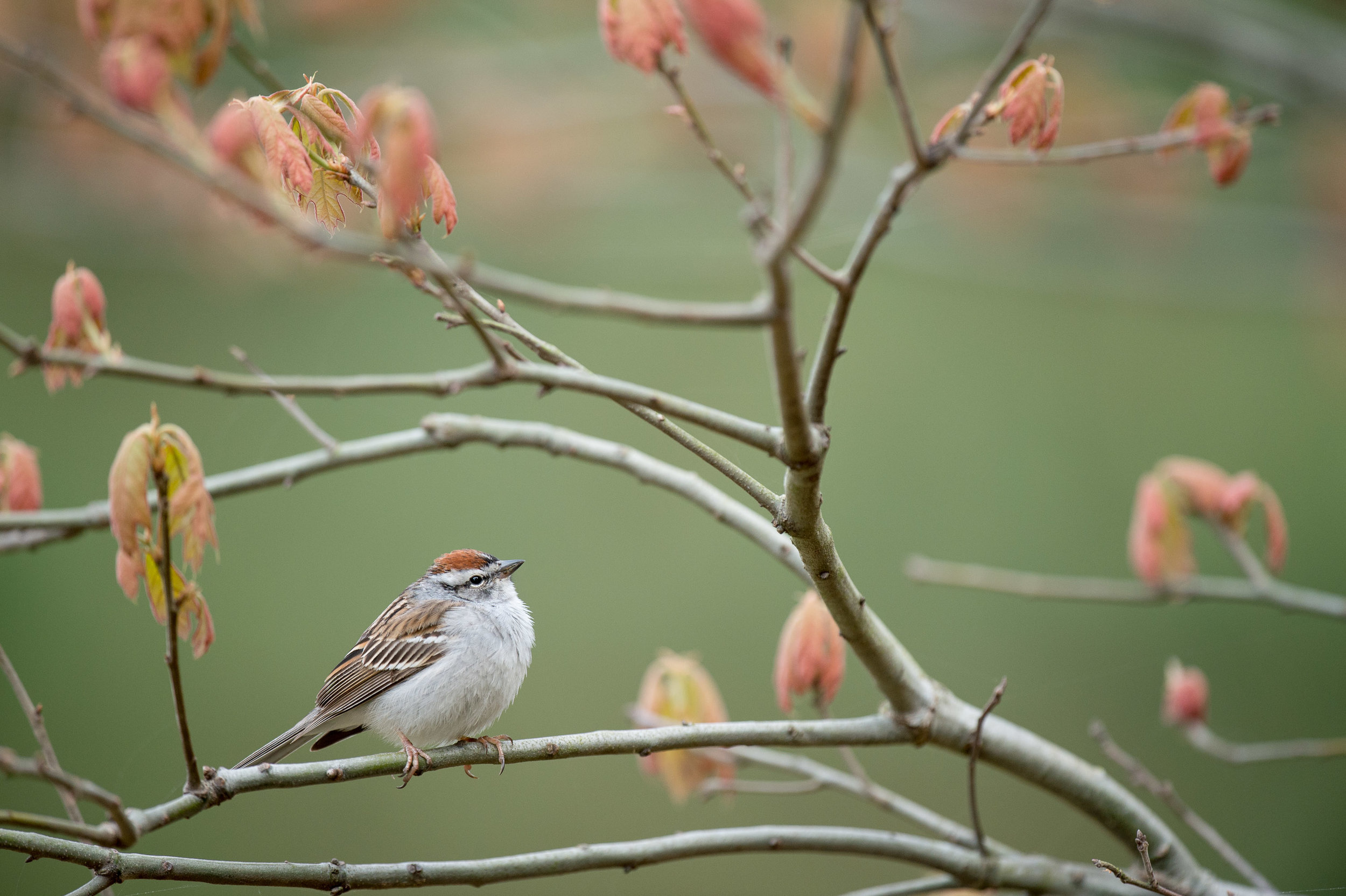A Chipping Sparrow perches on a branch surrounded by brand new reddish colored leaves.