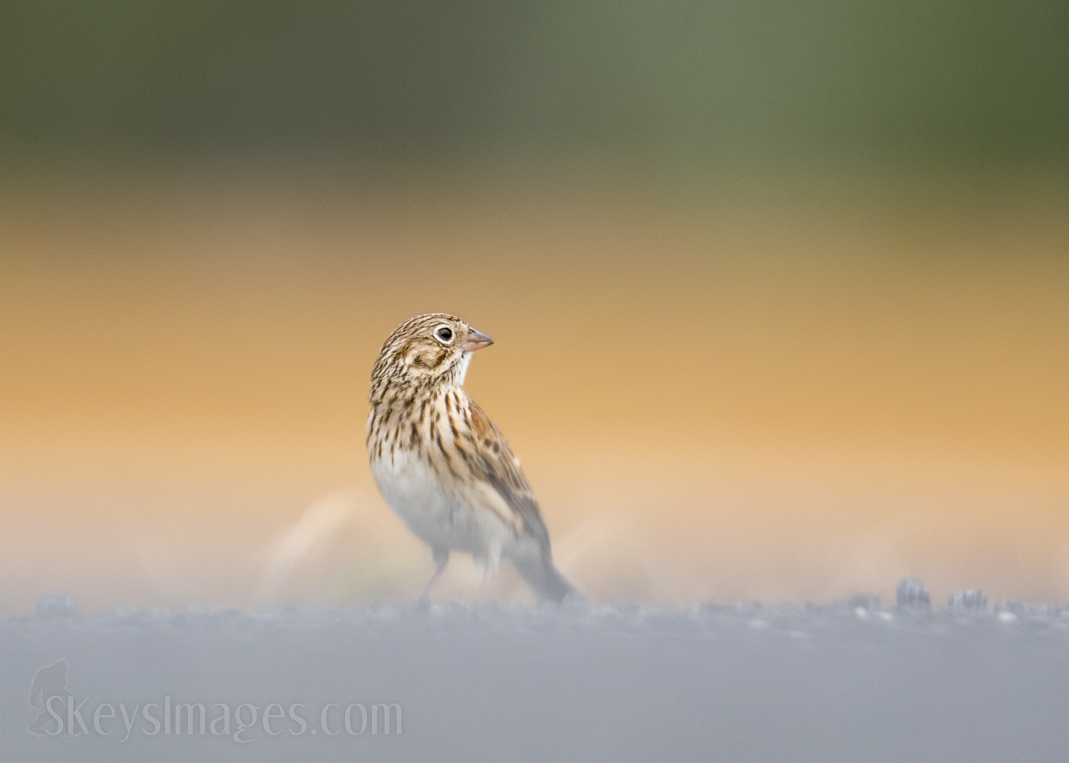 Foraging birds are not always in the open like this. Getting on the ground here gives a very different and intimate feel to these Vesper Sparrows. This bird is on the other side of a gravel road. Shooting down at an angle would bring in that very bland element and make it look like a bird on the road.  Changing to really low (actually an inch or two below the bird as he in on the slightly elevated road) allowed 2 layers of backgrounds to come in to play. There are golds from a burnt field that lead into a tree line on the horizon. Getting this low will get some super out-of-focus elements that can bleed into the subject, so you will have to determine if this bothers you or not. For me seeing the three layers evenly broken up created a more interesting image and the blurred bottom of the bird lead into the in-focus head which also worked for me.