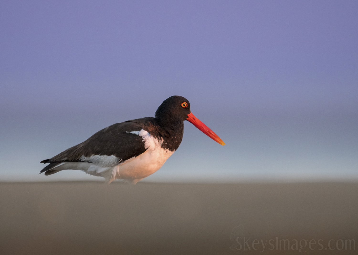 This example shows a foreground blur that composes the bottom third of the image. The key element for me here was the sky. The sun was just coming up and the sky still had blue and purple tones that I wanted to include. The Oystercatcher was actually a little above me on a small dune, so I could get the sand, the bird and the sky all in one picture.
