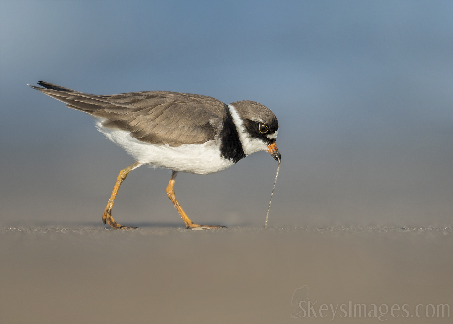At this low angle, this Semi-palmated Plover really shows the action of pulling the worm from the sand. This persepctive feels intimate and gives a great sense of being close to whats happening. It also allows the elongated worm to show better.