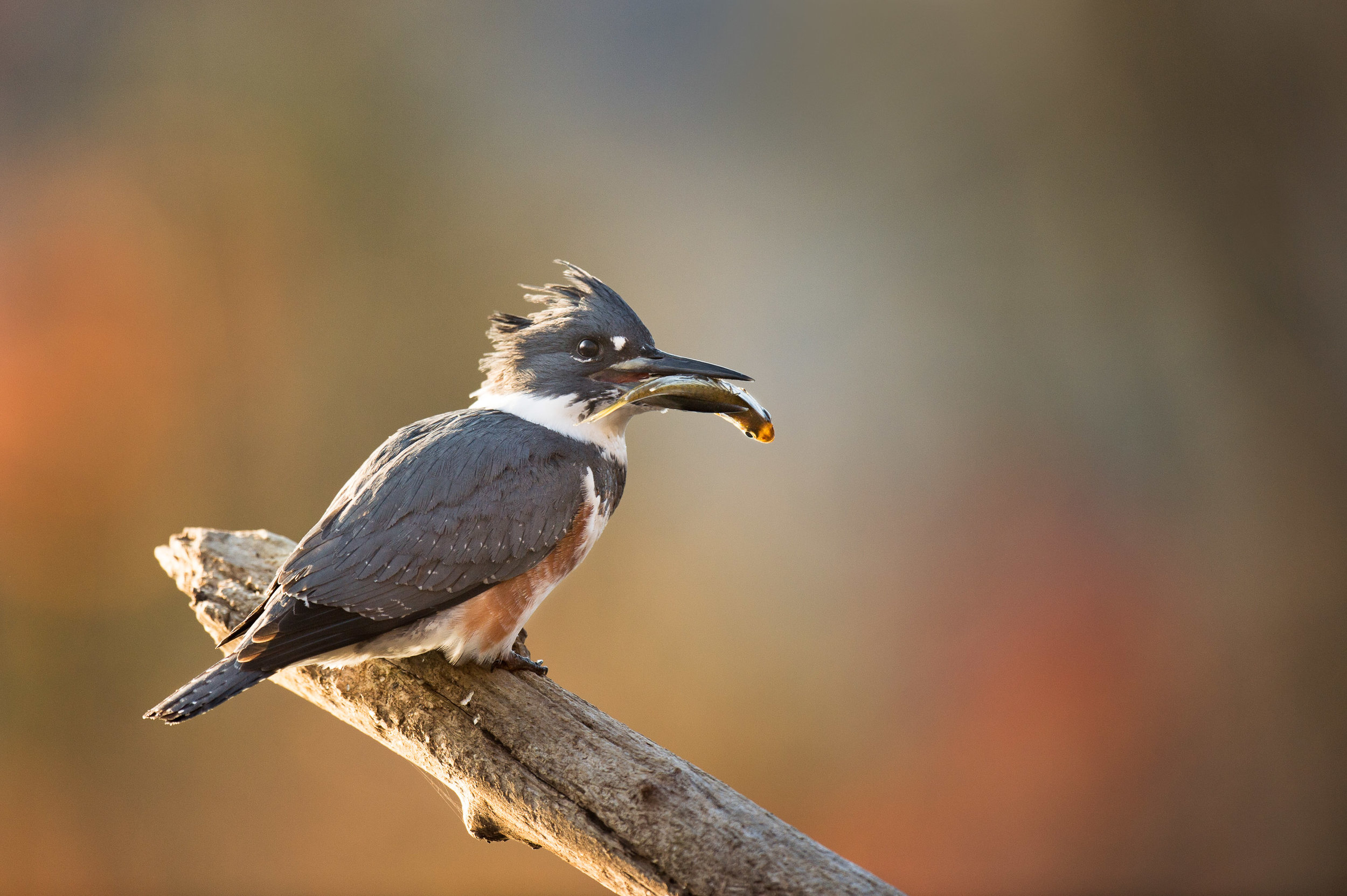 This was taken after years of working with these Kingfishers when it landed on a perch I installed in the pond for it to use.