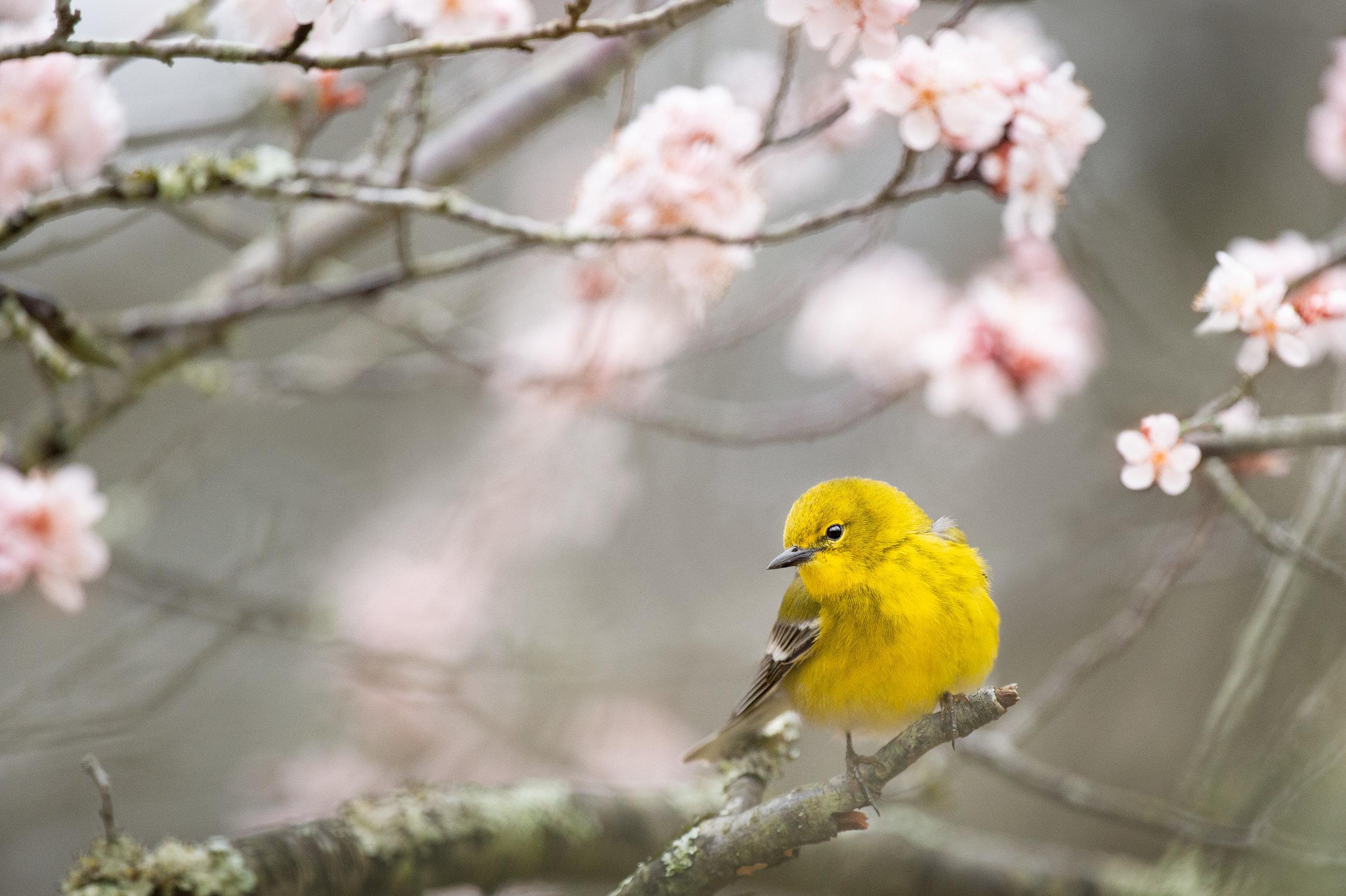 01_Spring Pine Warbler.jpg
