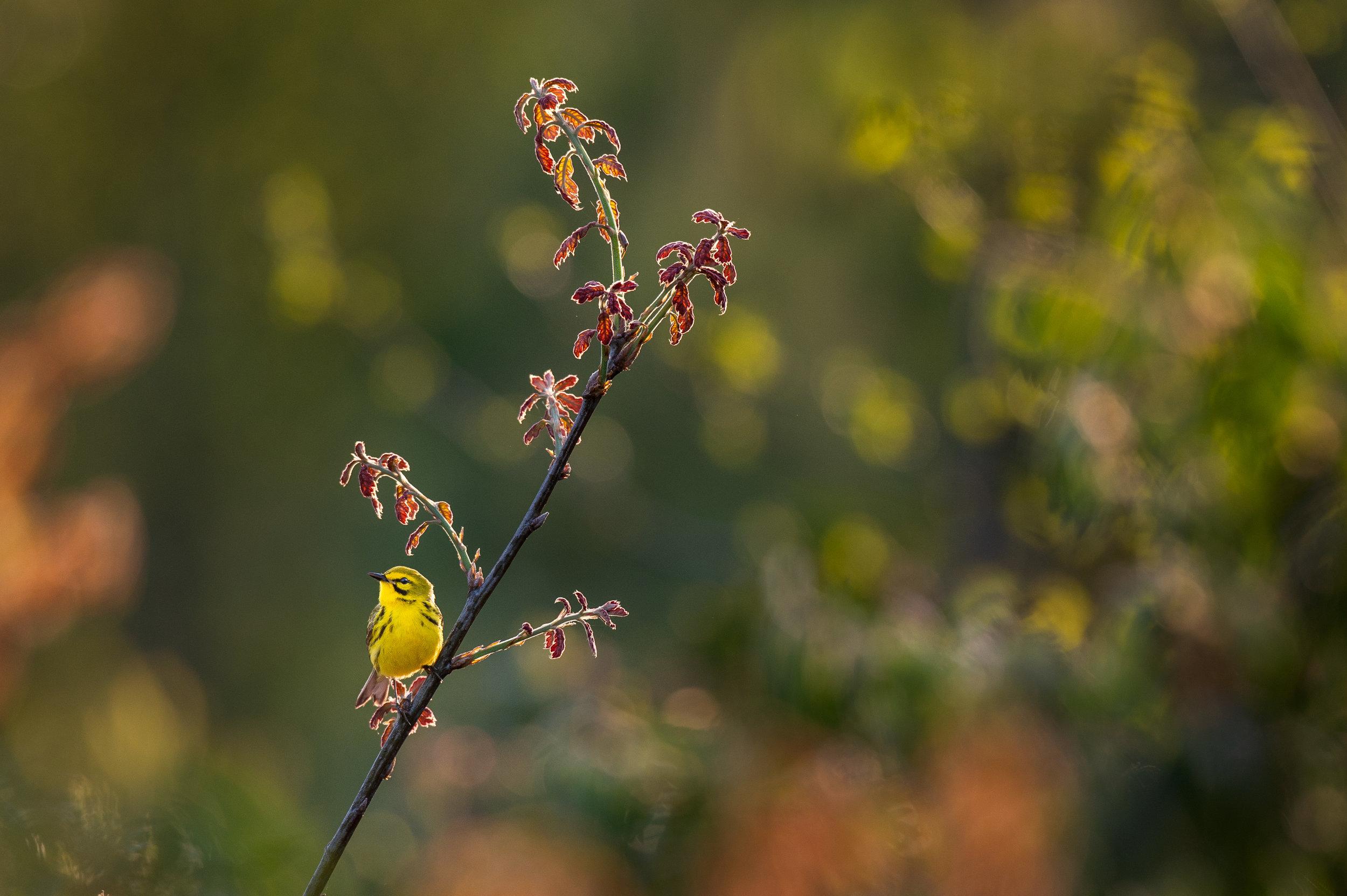 24_Backlit Prairie Warbler.jpg