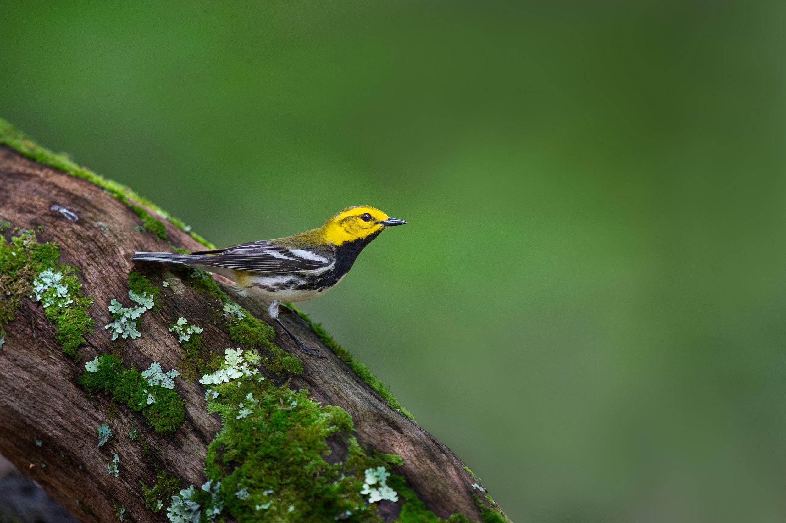 06_Black-throated Green Warbler on Mossy Log.jpg