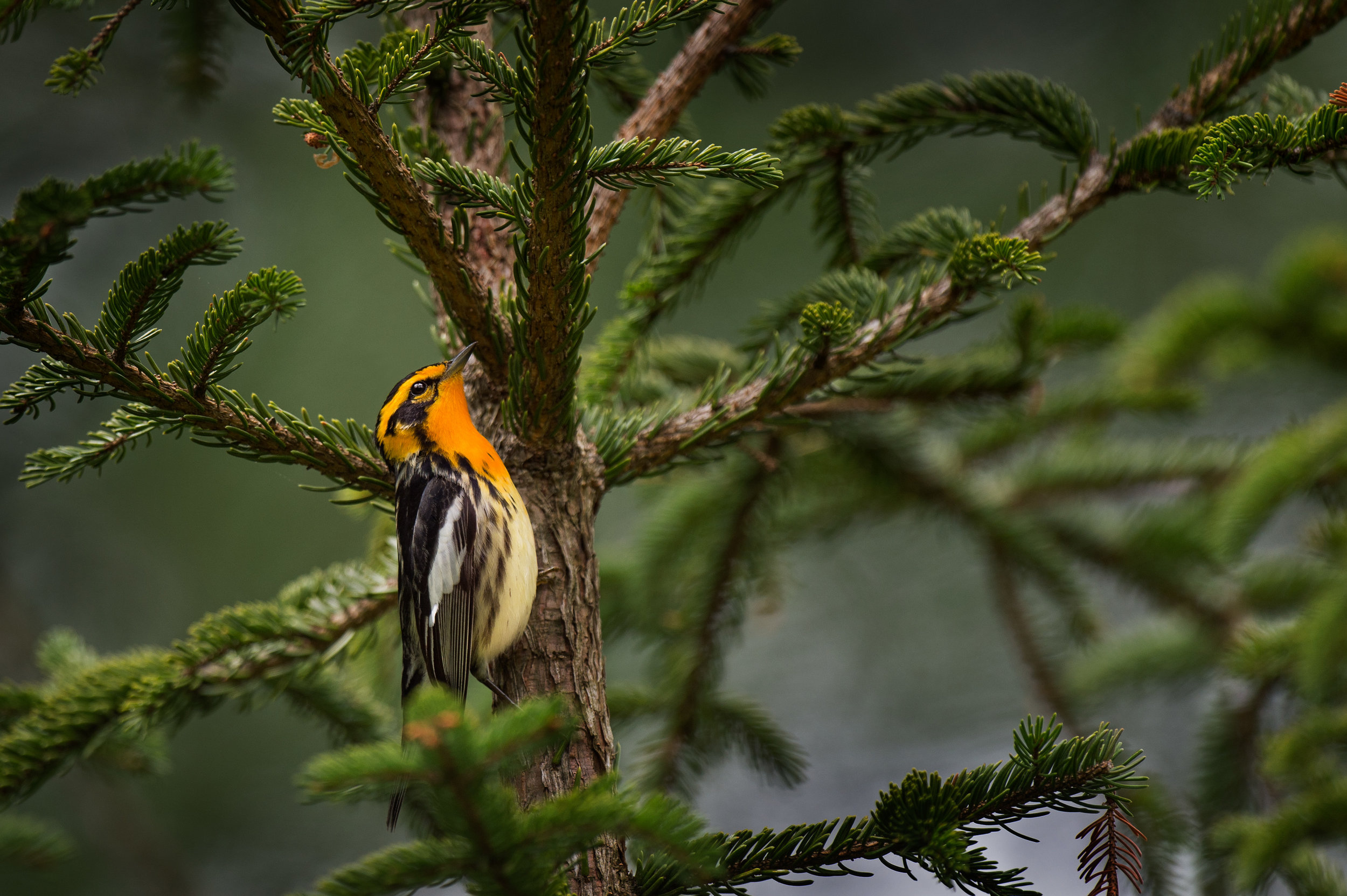 11_Blackburnian Warbler Feeding.jpg