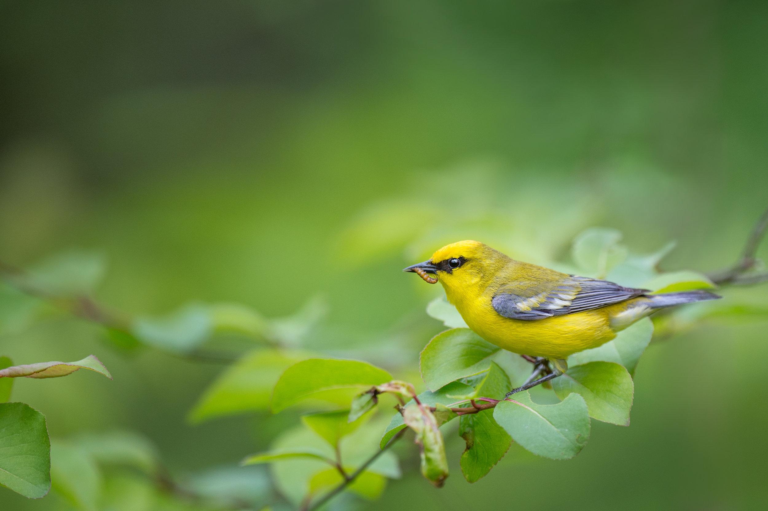 14_Eating Blue-winged Warbler.jpg