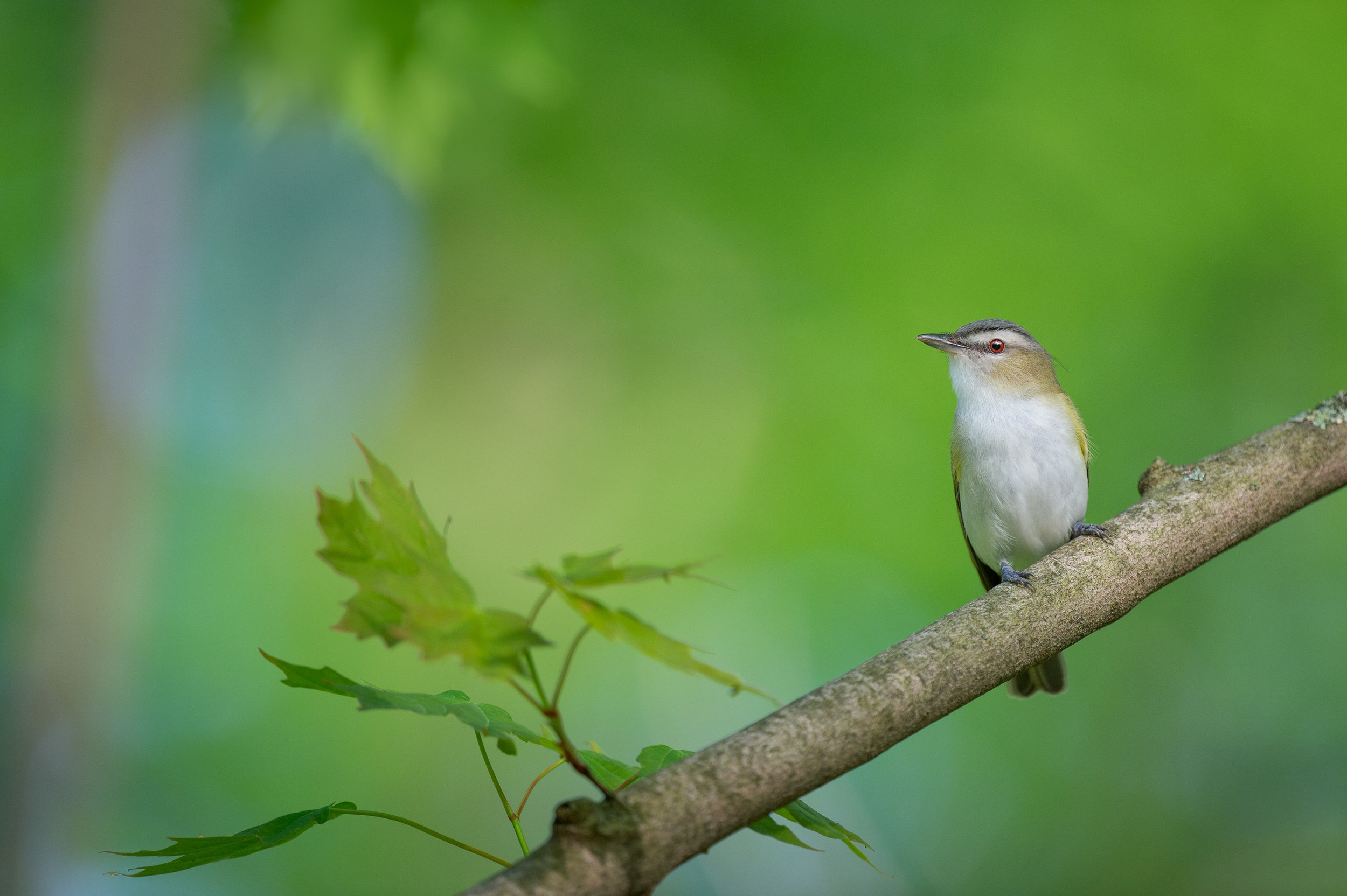 04_Red-eyed Vireo Portrait.jpg