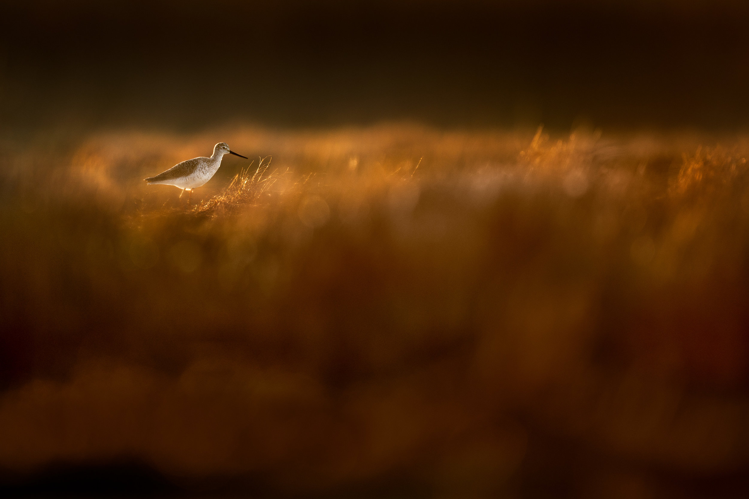 08_Yellowlegs in Golden Grass.jpg