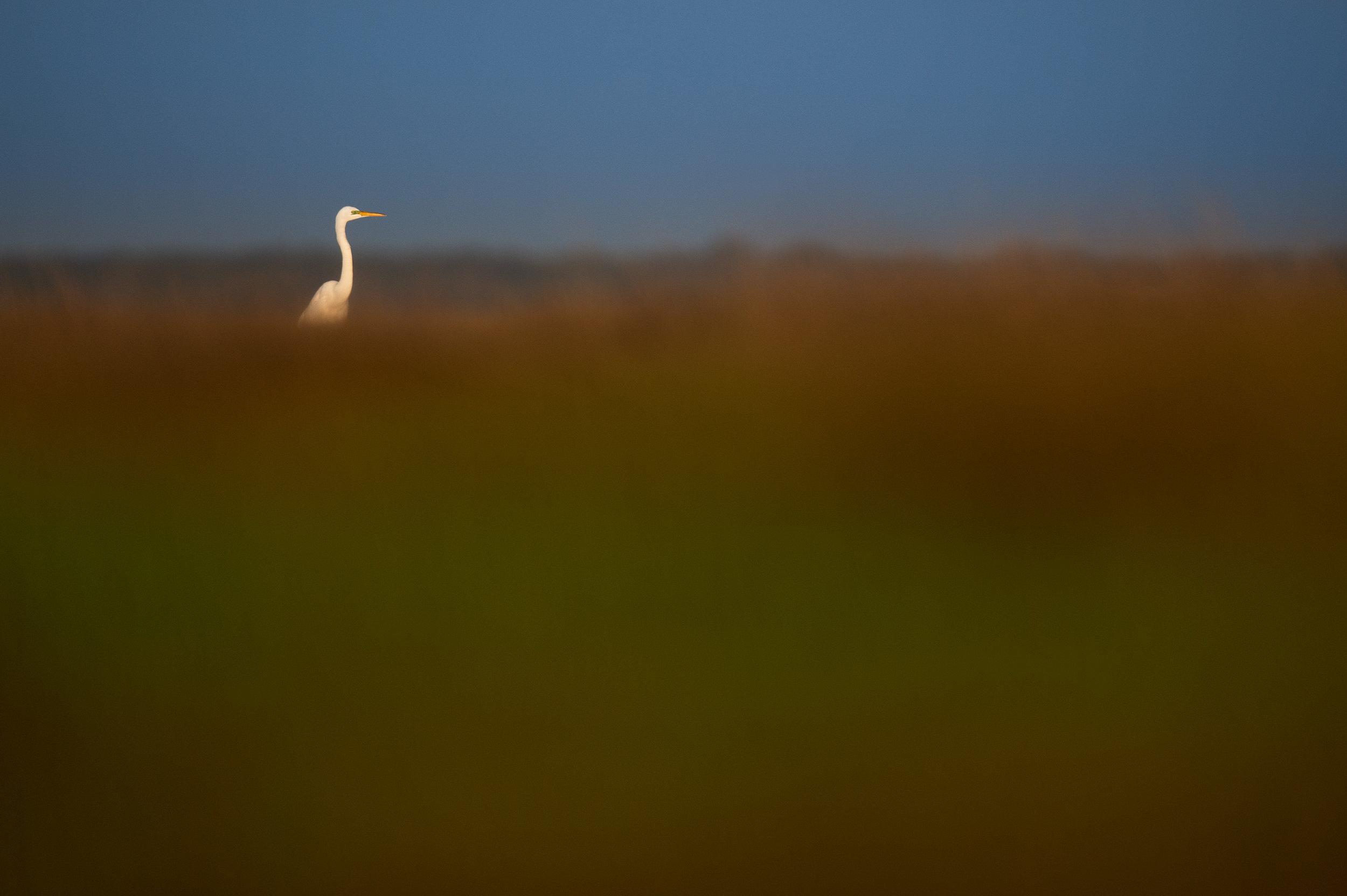 01_Great Egret in the Marsh.jpg