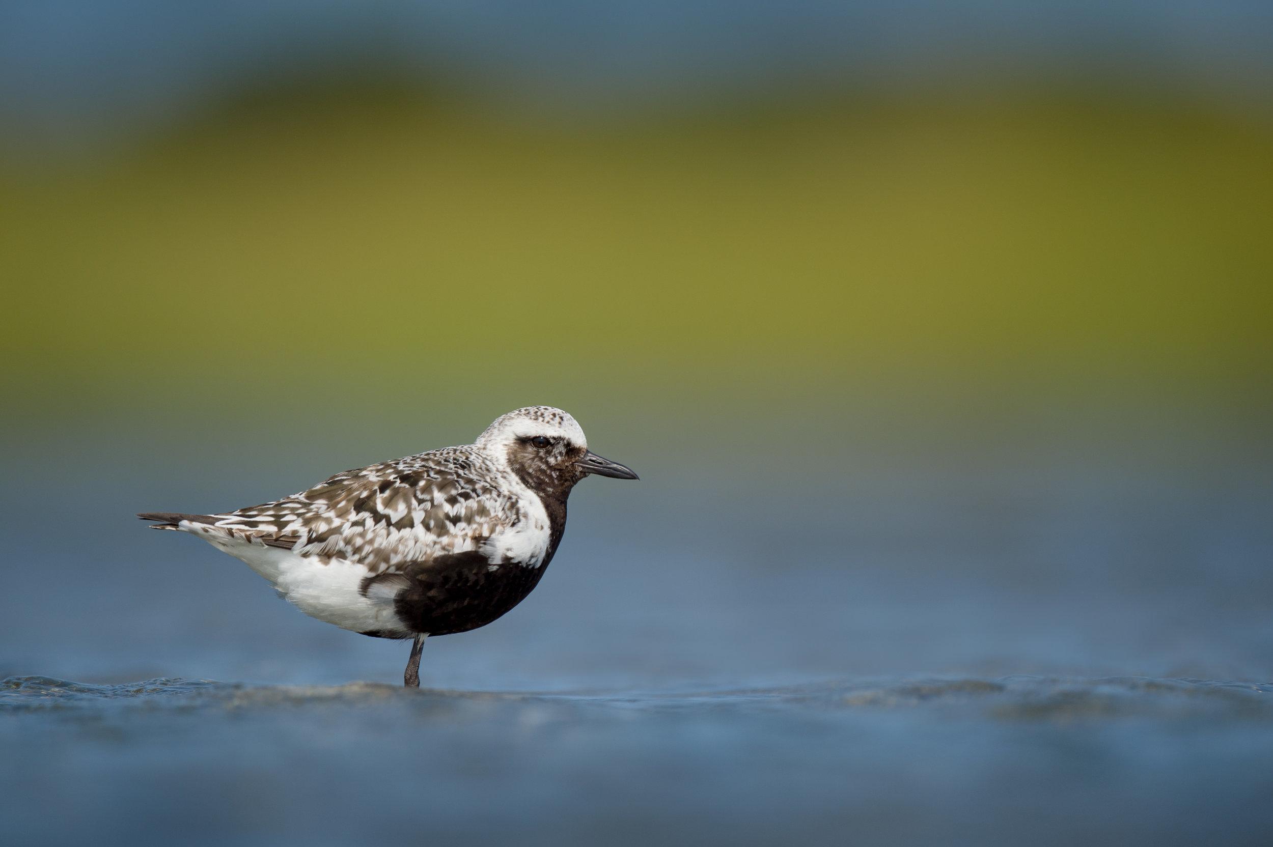 008_jersey_shorebirds.jpg