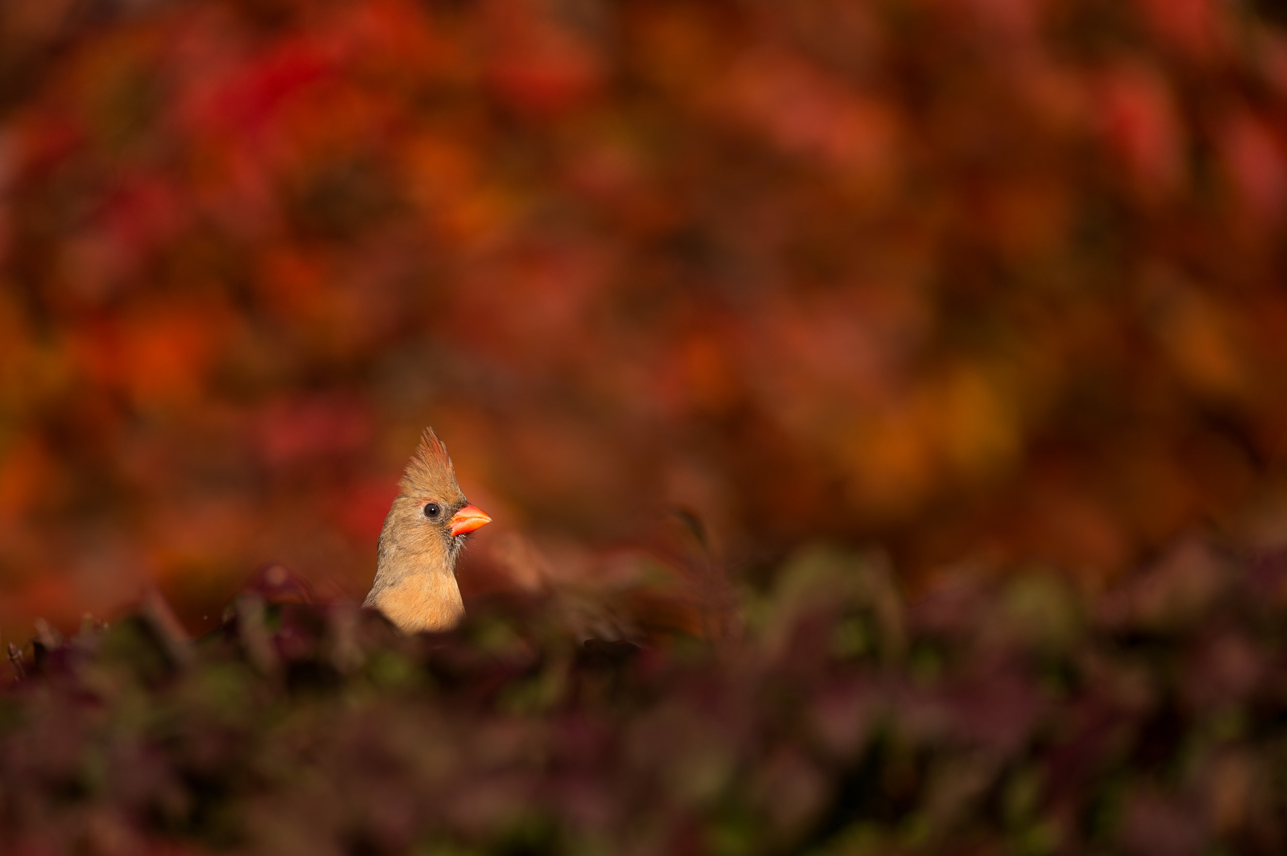 One of the more common backyard birds, a female Northern Cardinal peeks out from within a colorful bush.