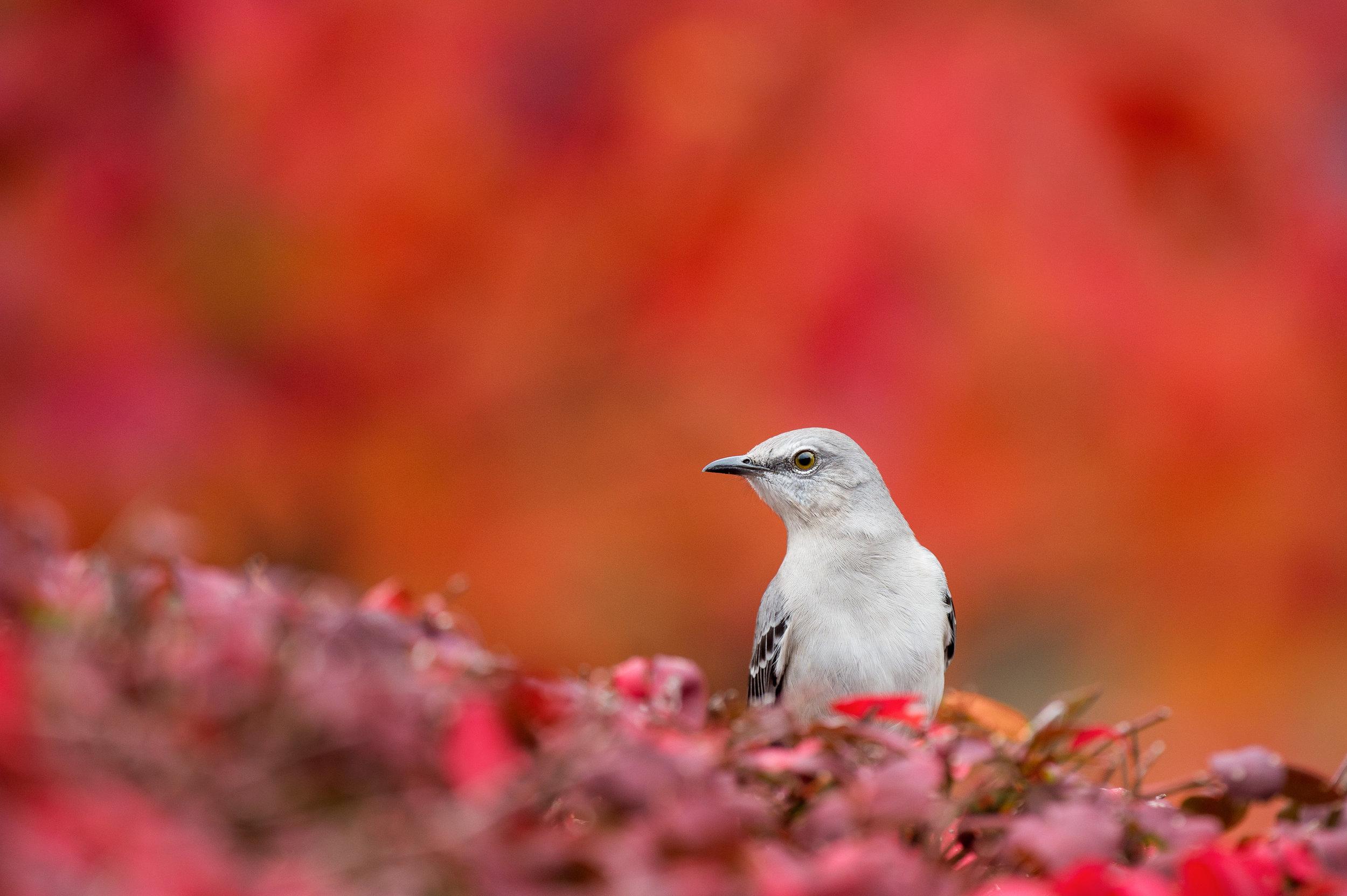The noisy but common Northern Mockingbird.