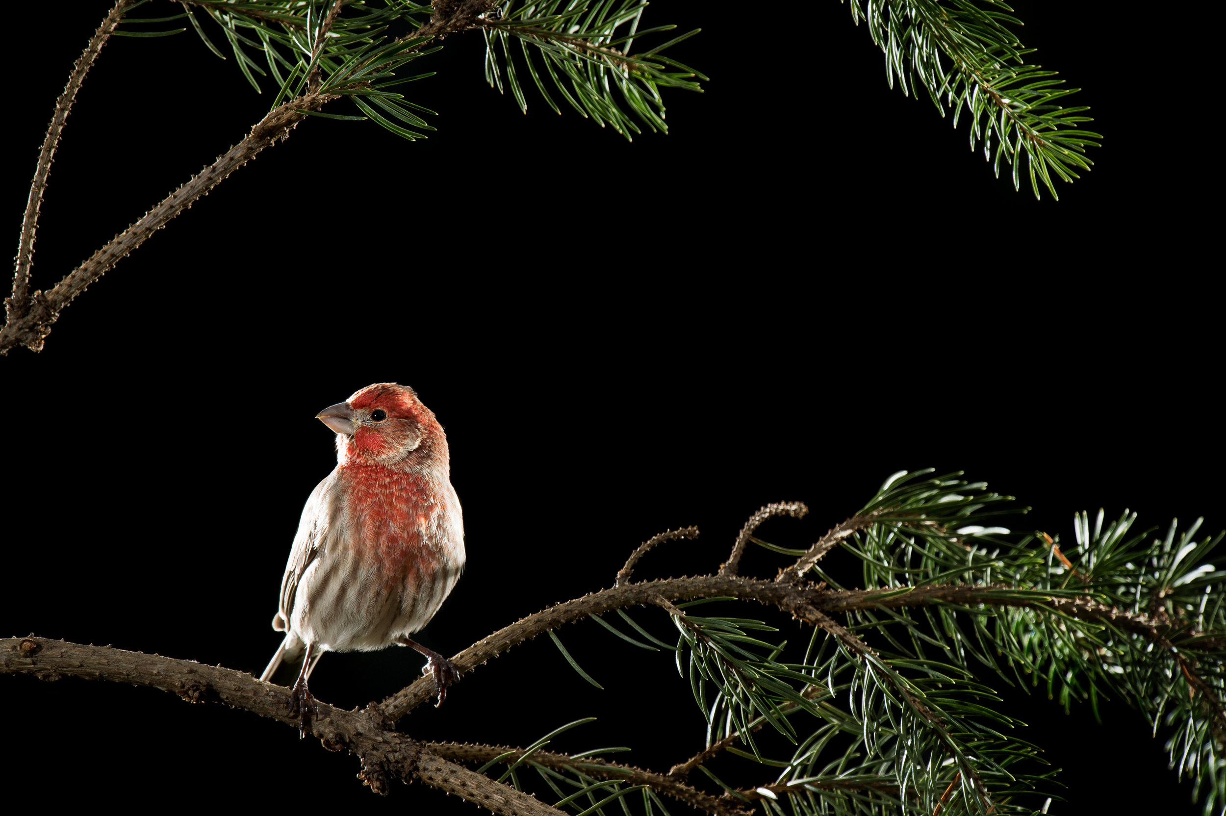 A House Finch perched for its portrait in my backyard studio.