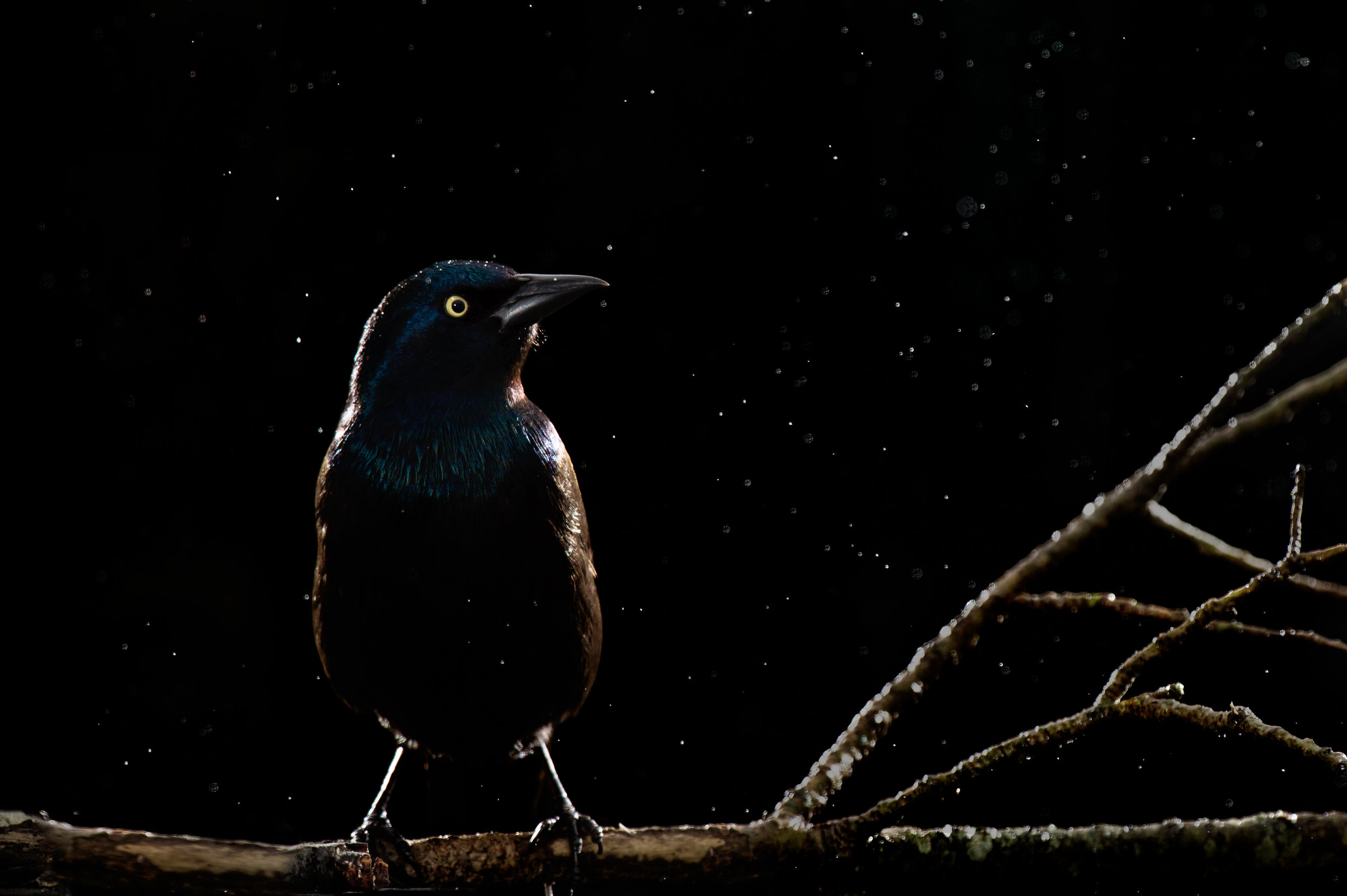 While I don't normally find Common Grackles to be the most beautiful subjects I thought this dramatic lighting really worked well for this individual, the light rain also added a little something to the shot.