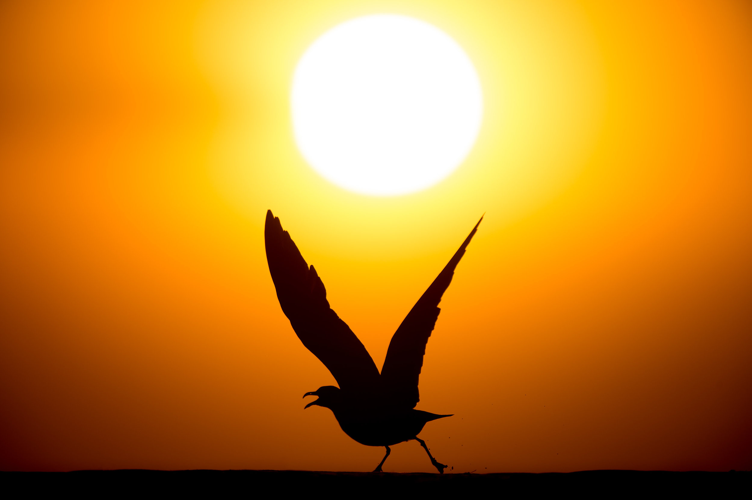 A Laughing Gull takes off, silhouetted against the setting sun.