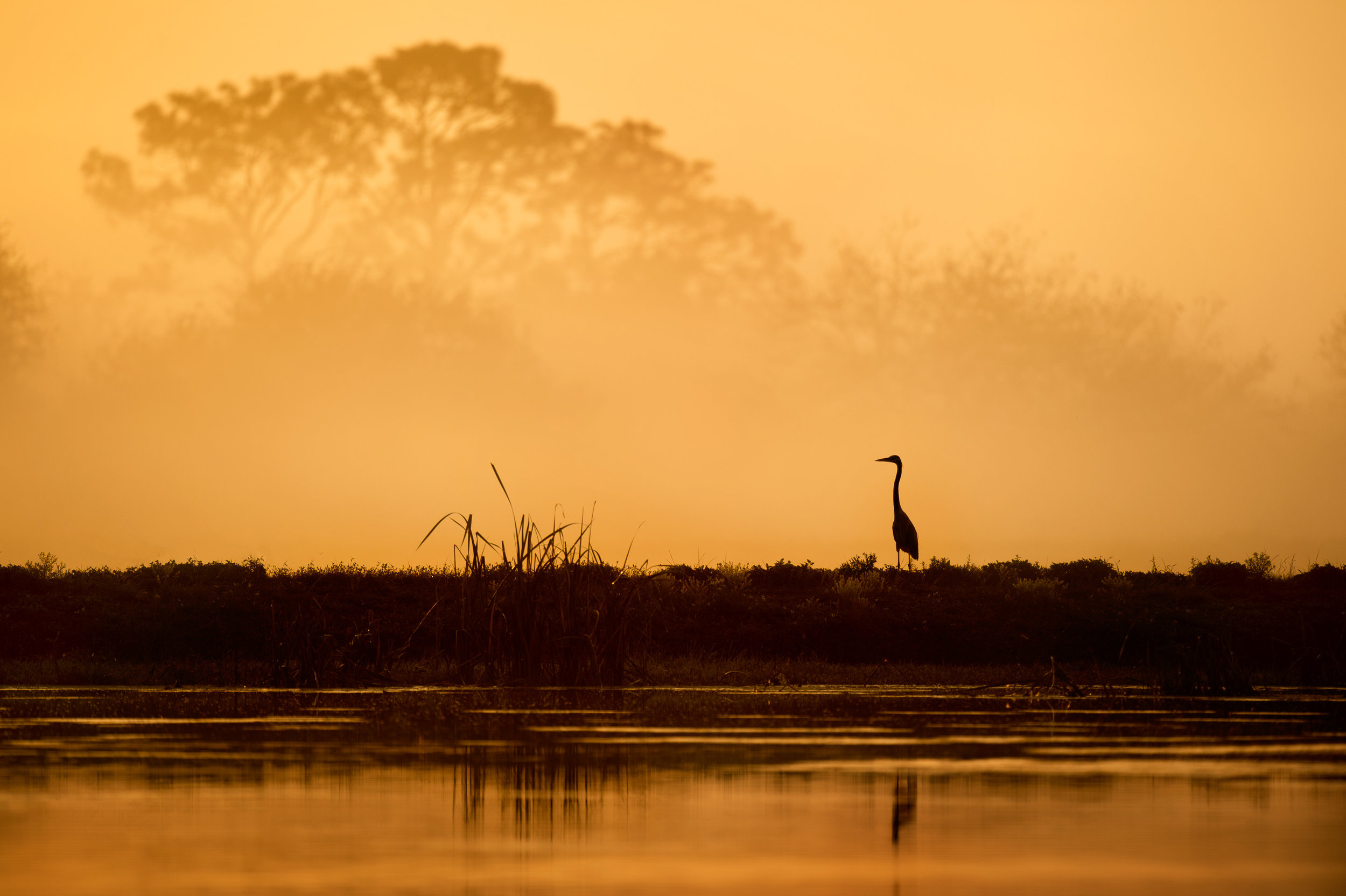 A Great Blue Heron silhouetted against the foggy morning trees, moments after sunrise.