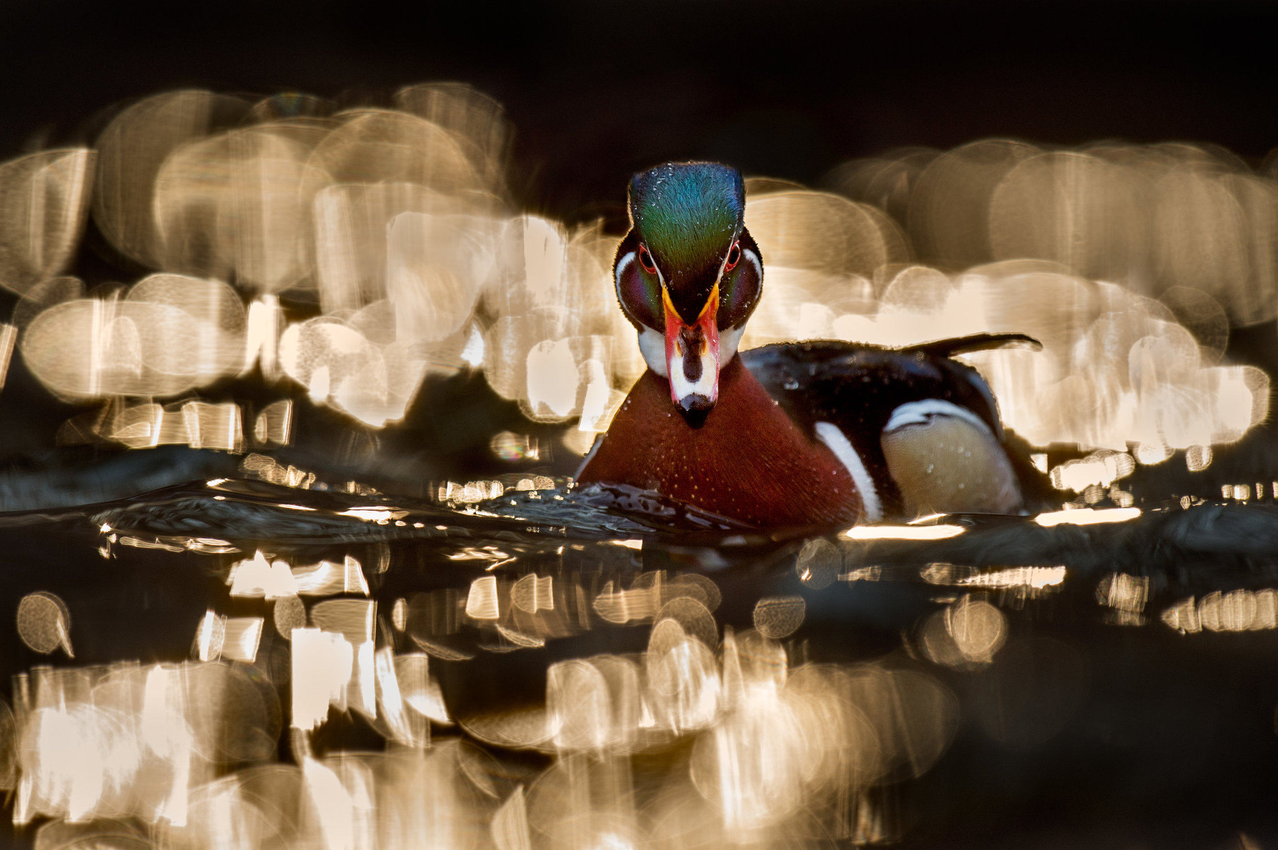 While floating right in the direct and strong backlit sun I photographed this Wood Duck drake in a sea of golden bokeh.