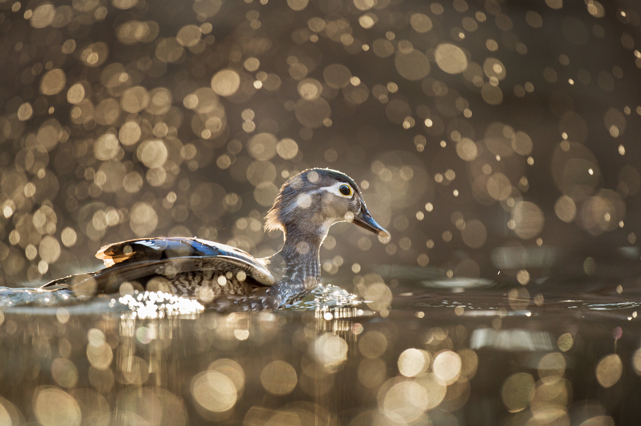 I got incredibly lucky when another duck that was out of the frame decided to dive and splashed up all the water drops in the foreground, which then turned into the glowing sparkles in the air because I was set up for backlight on this Wood Duck hen.