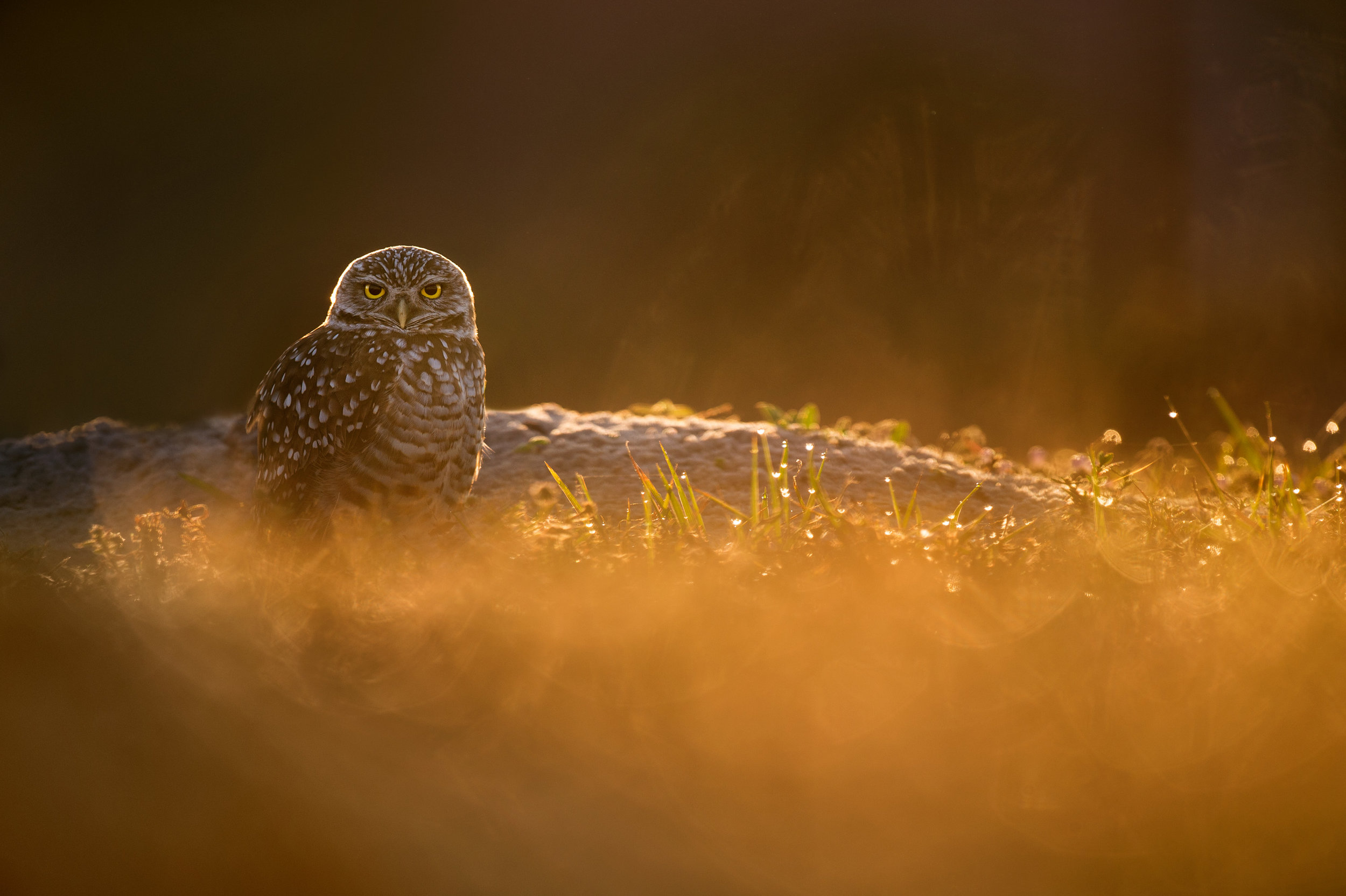 Moments after the sun came up from behind a nearby building I was able to get into position to photograph this Burrowing Owl glowing in the morning sun. I was sure to also include a lot of the foreground grasses for added color and to help draw the viewer's eye to the bird.