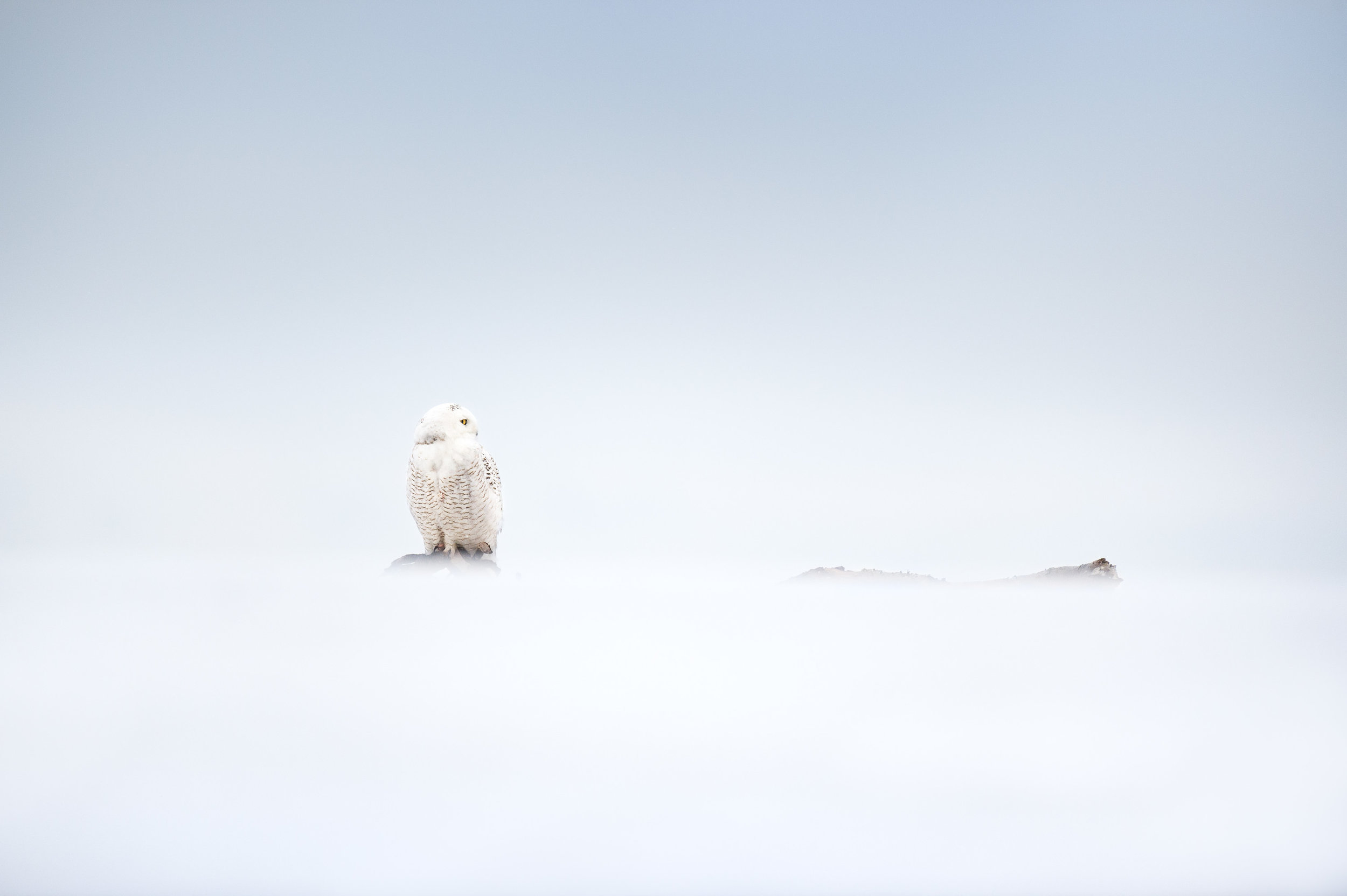 Getting as low as possible and a creative use of foreground blur helped to make this unique photo of a Snowy Owl perched in a snowy landscape on an overcast day.