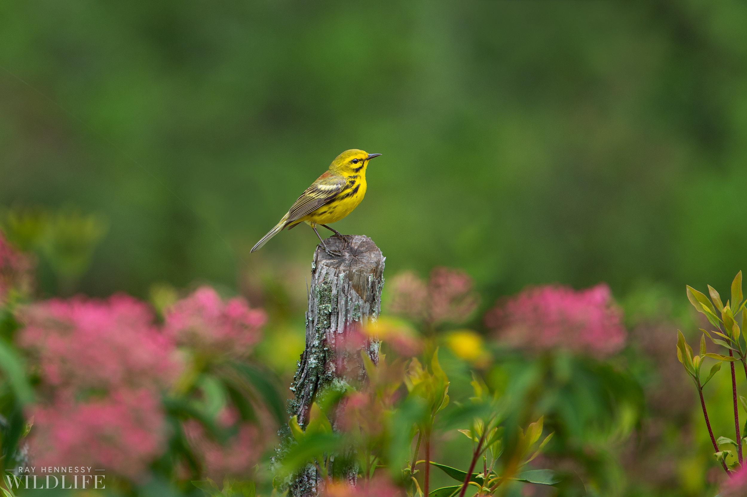 04_Prairie Warbler and Flowers.jpg
