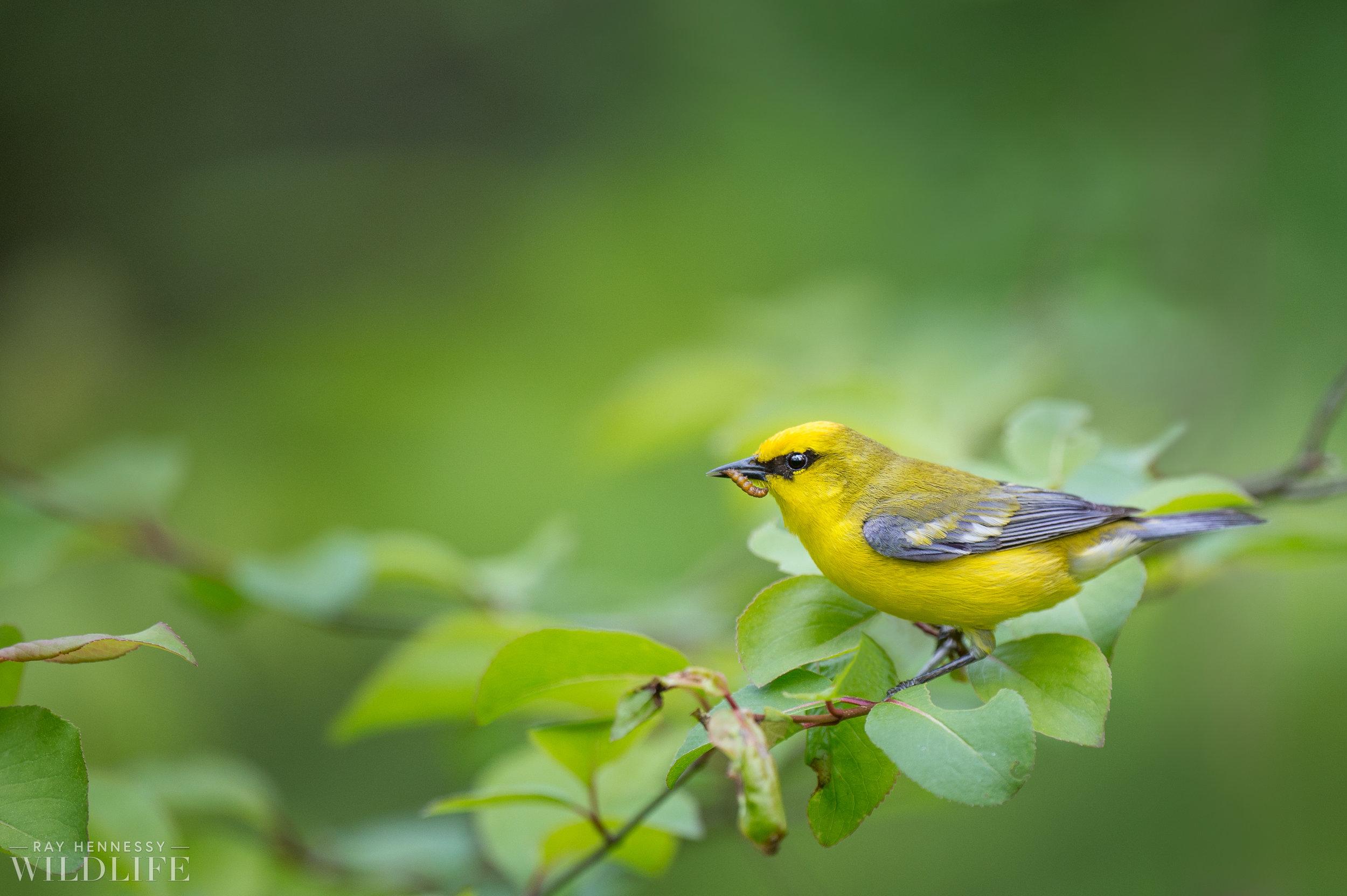 07_Eating Blue-winged Warbler.jpg