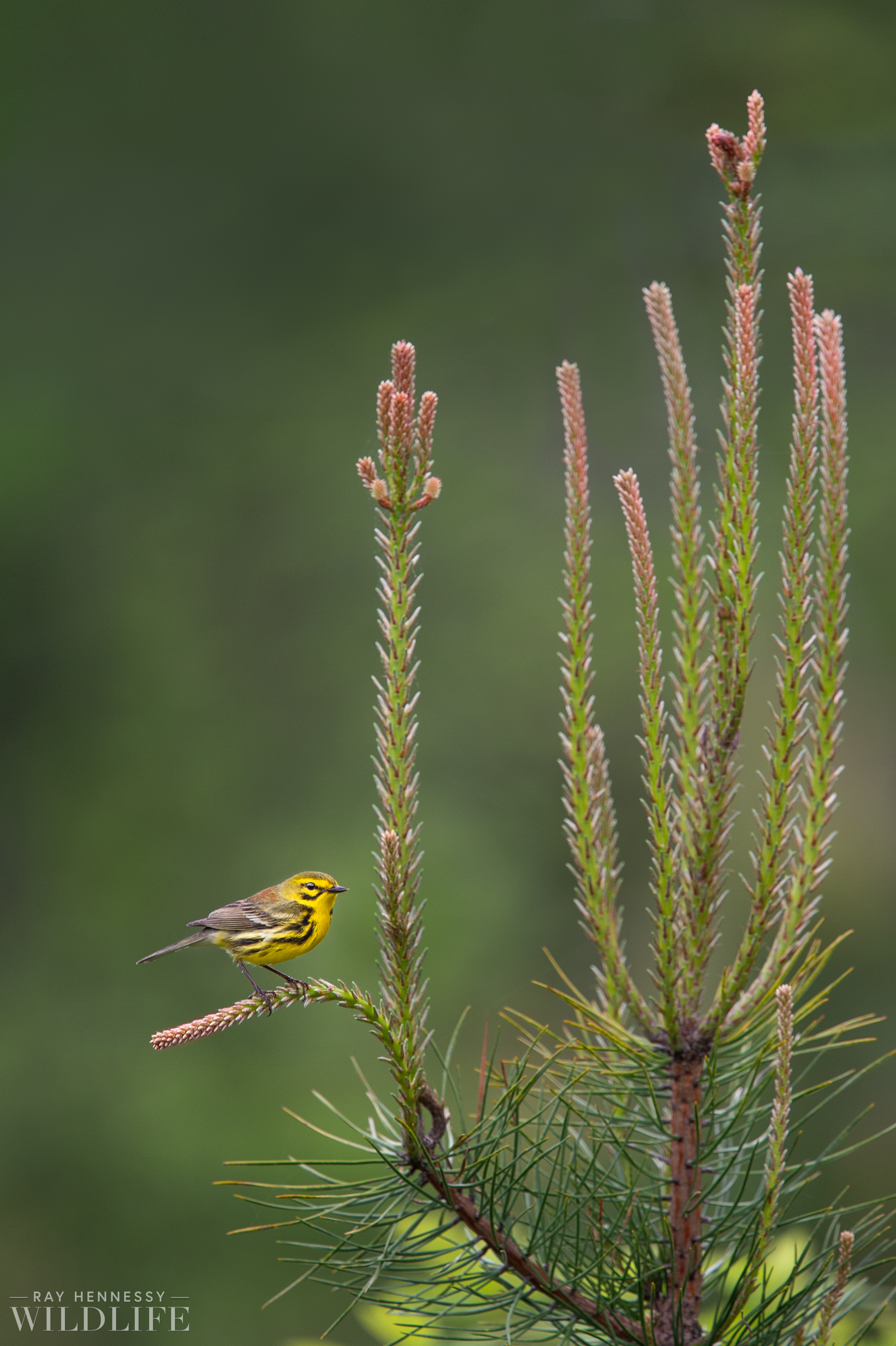06_Fresh Pine Prairie Warbler.jpg