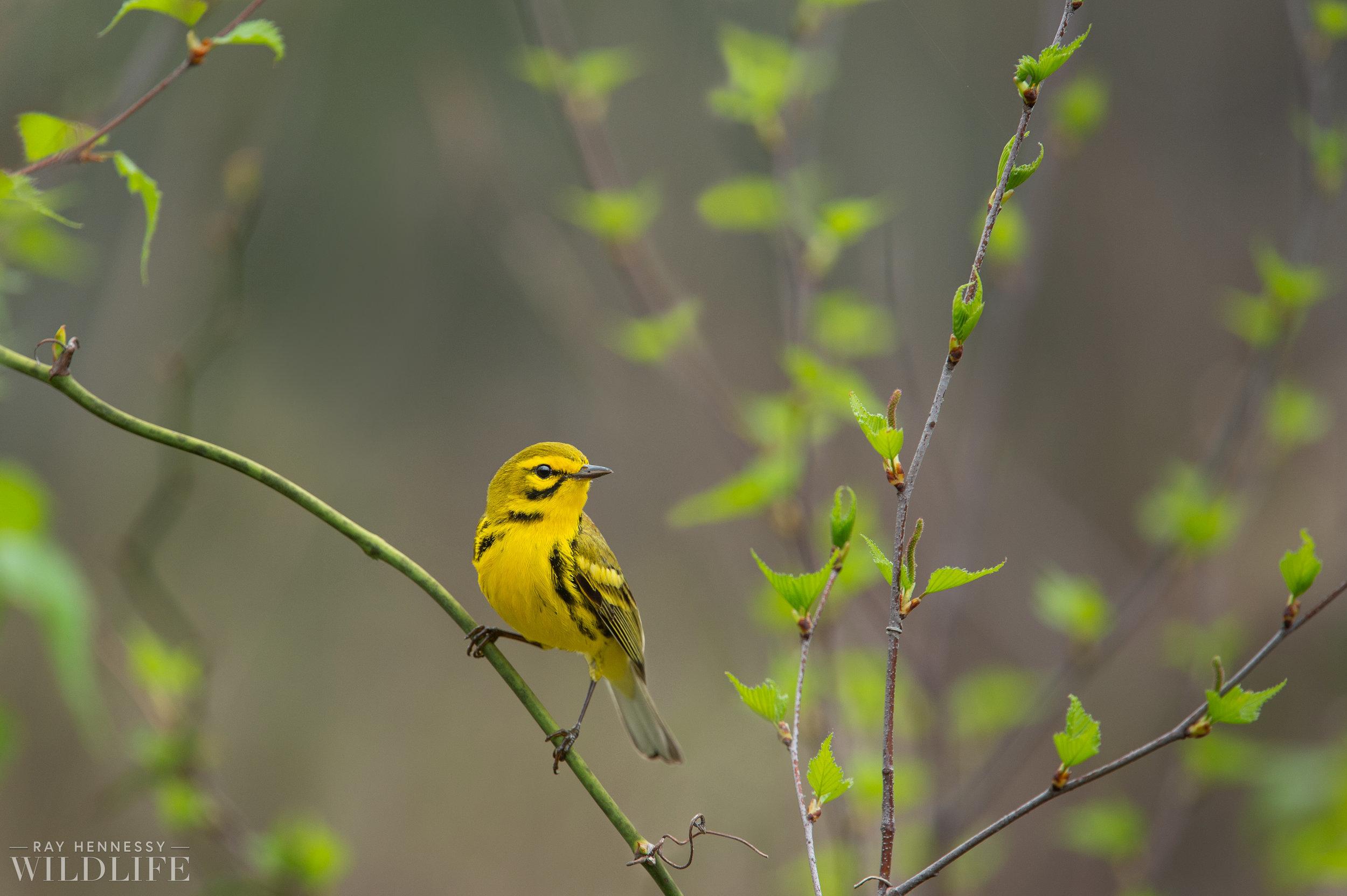 08_Prairie Warbler in Spring.jpg