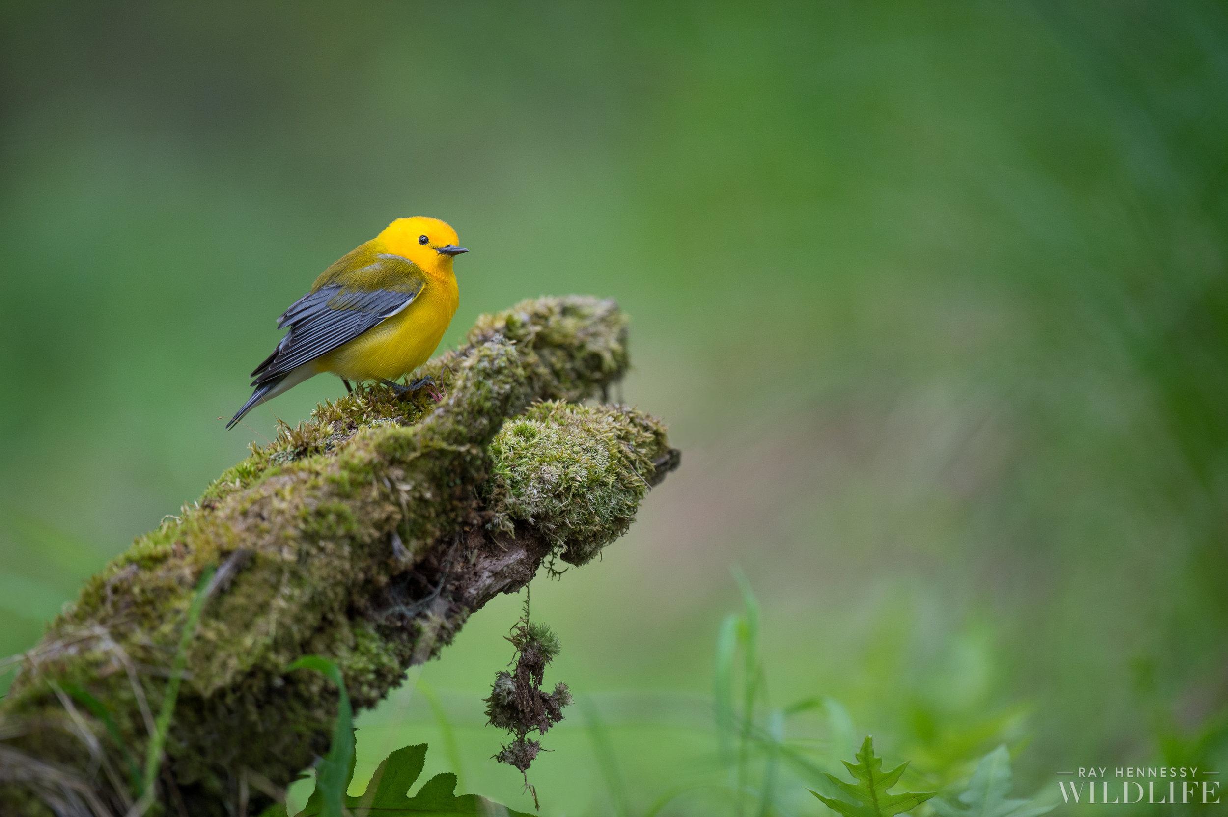 004_Prothonotary Warbler.jpg
